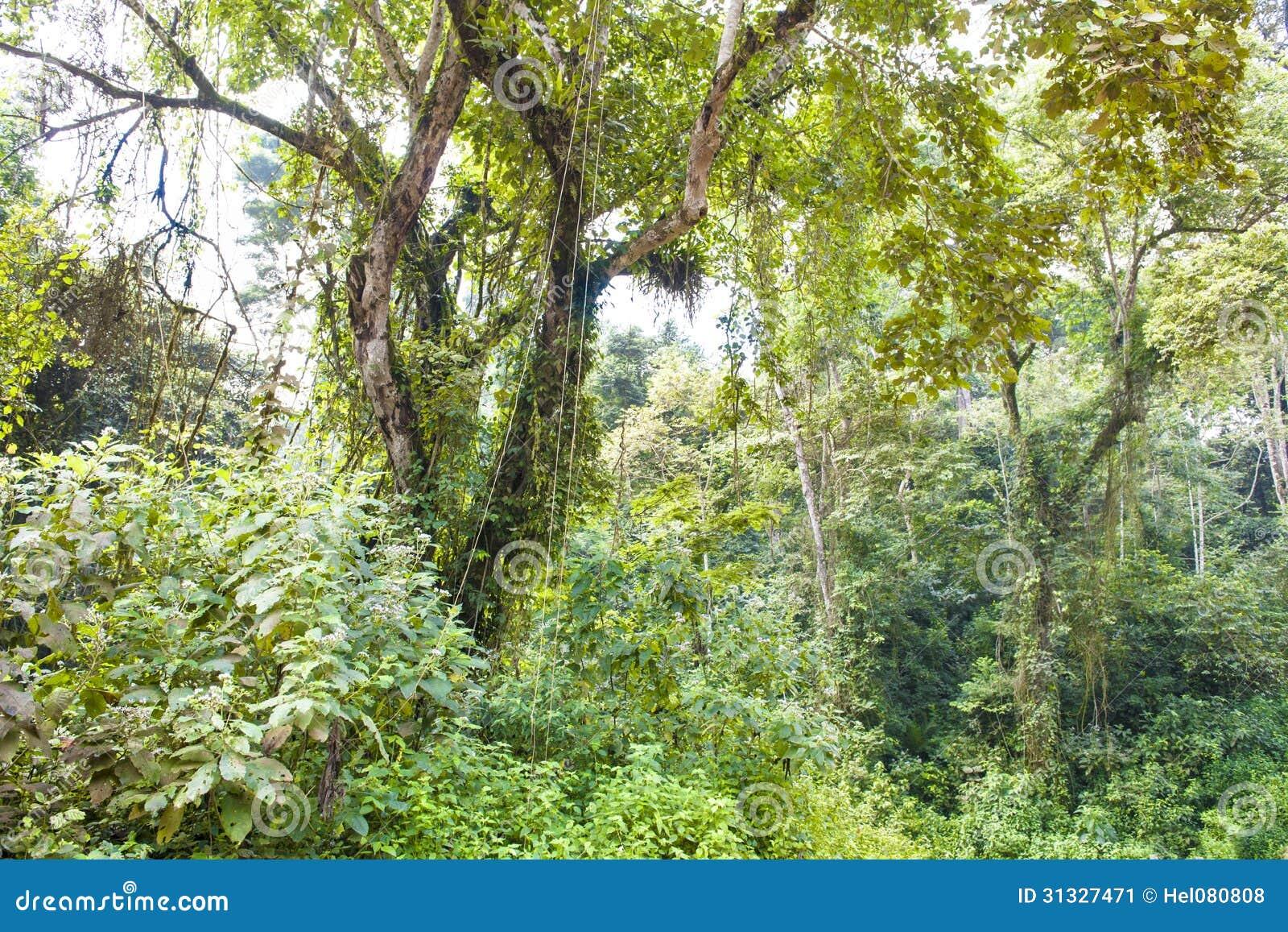 Na floresta úmida nevoenta da montanha em Uganda