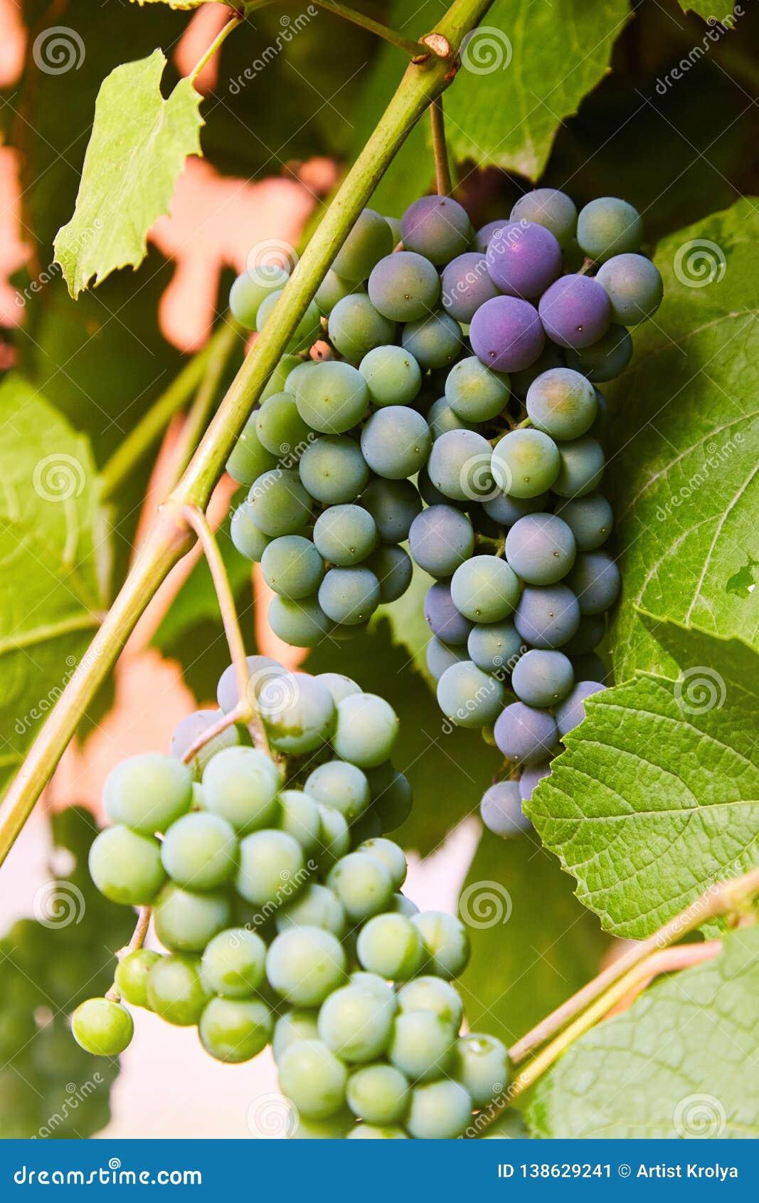 Na gałąź zieleni winogrona