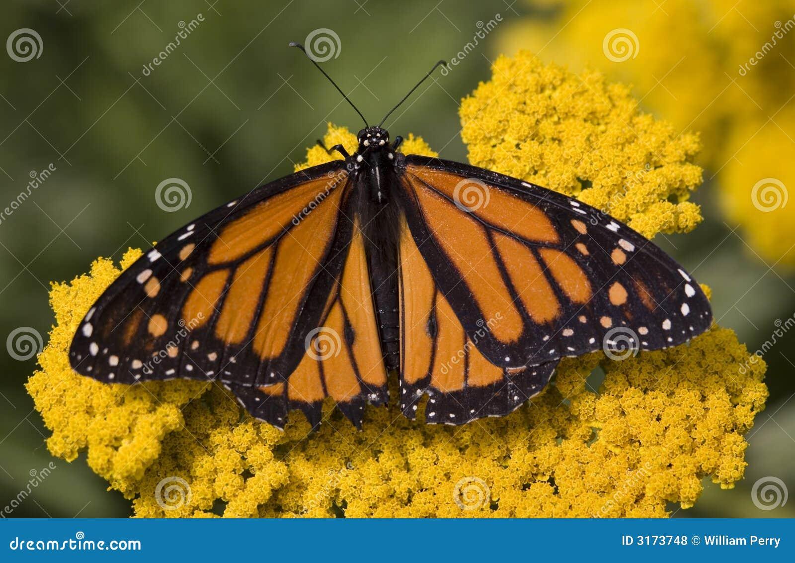 Na kwiatach monarchiczny Motyl