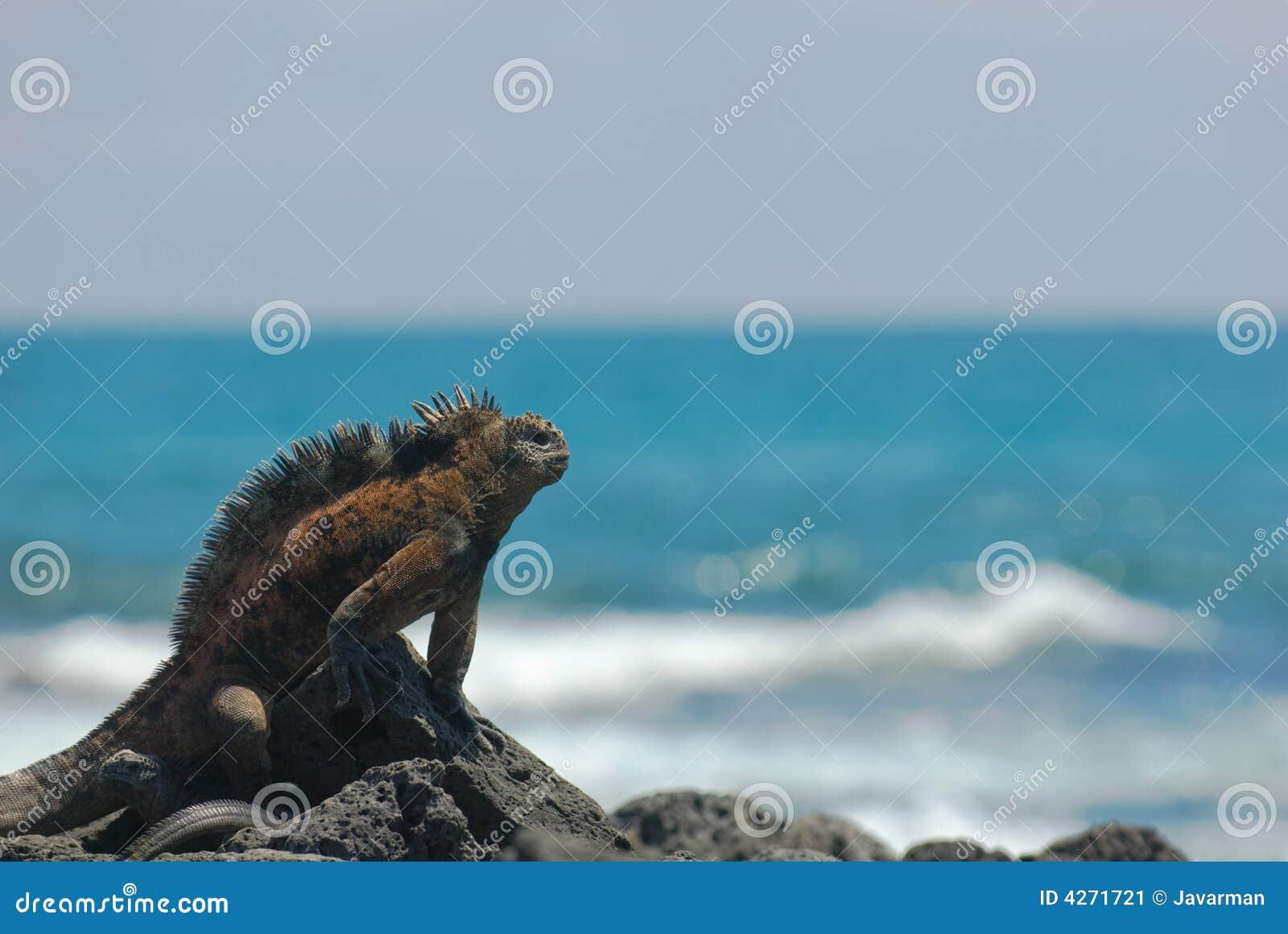 Na skałach morska iguana