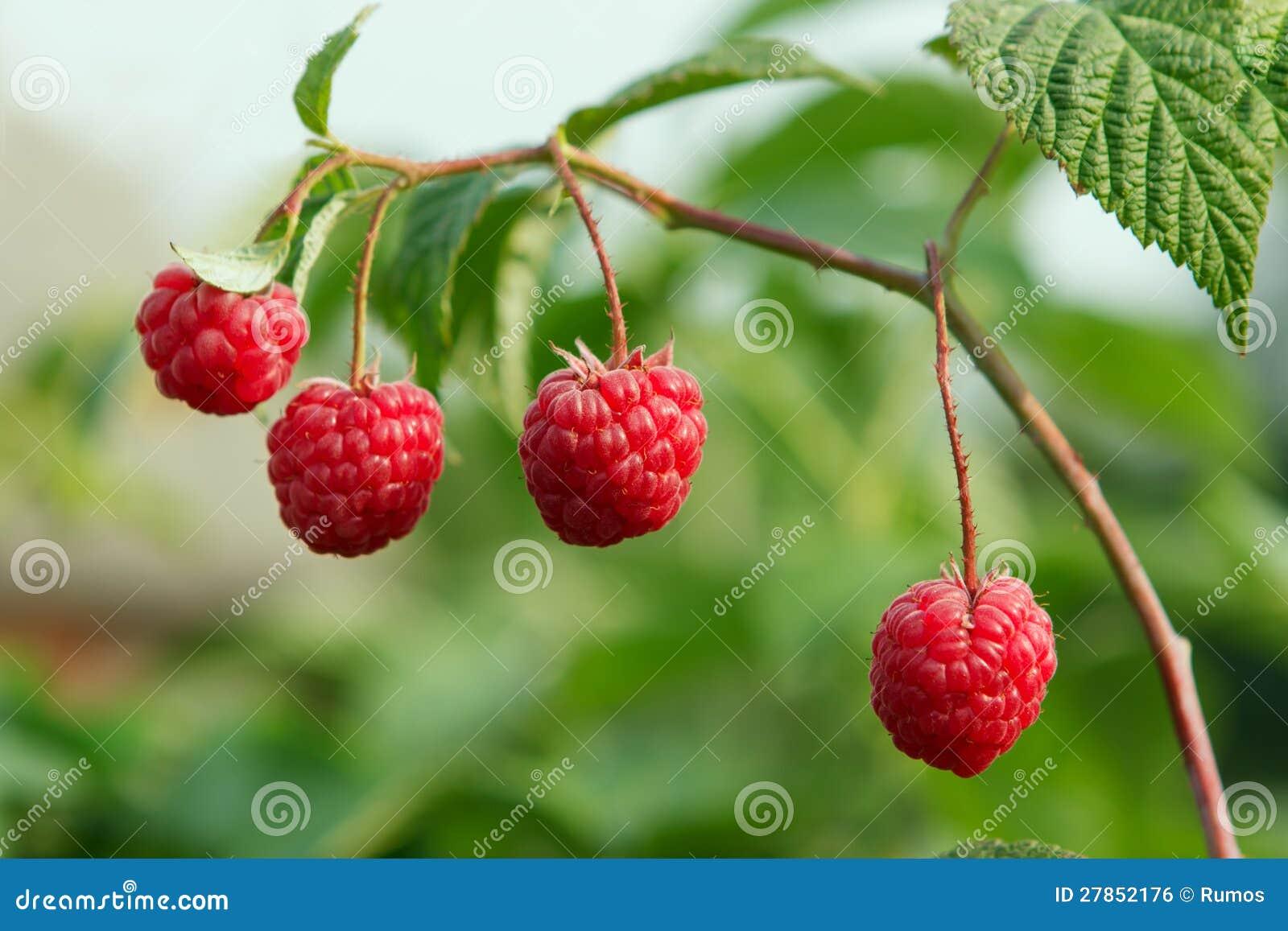 Na tła ulistnieniu soczystym zielonym jagodowa malinka