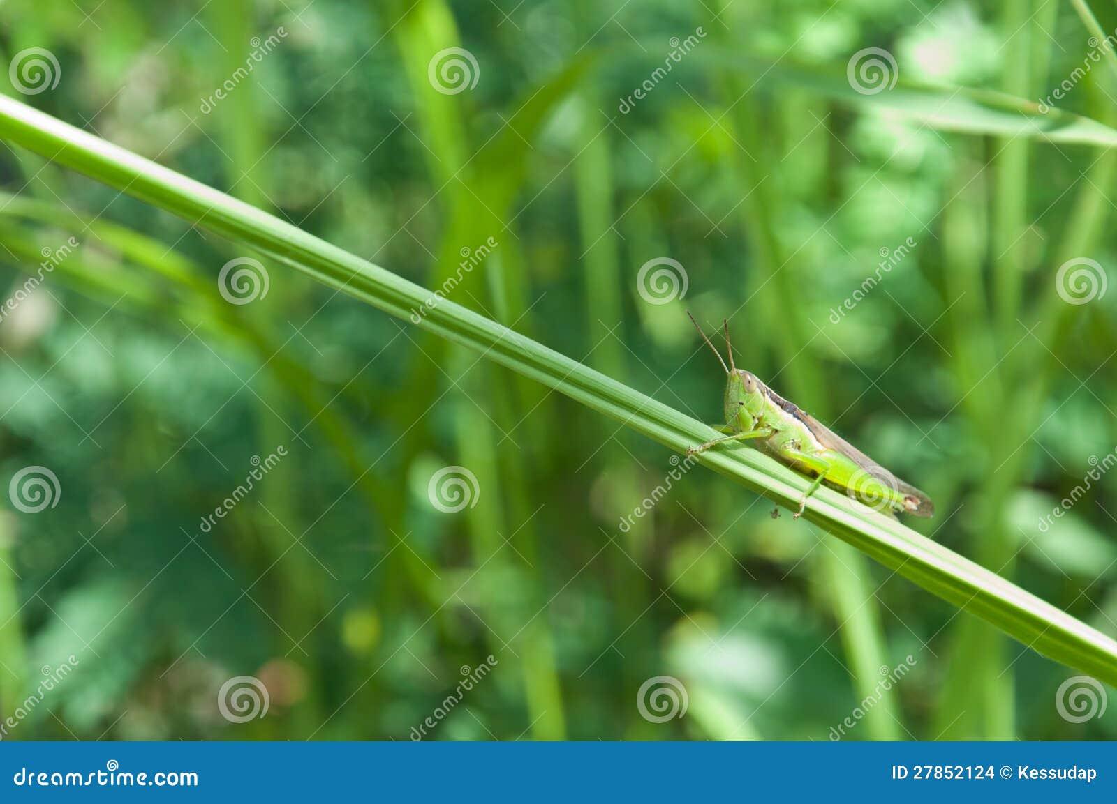 Na trawie zielony pasikonik