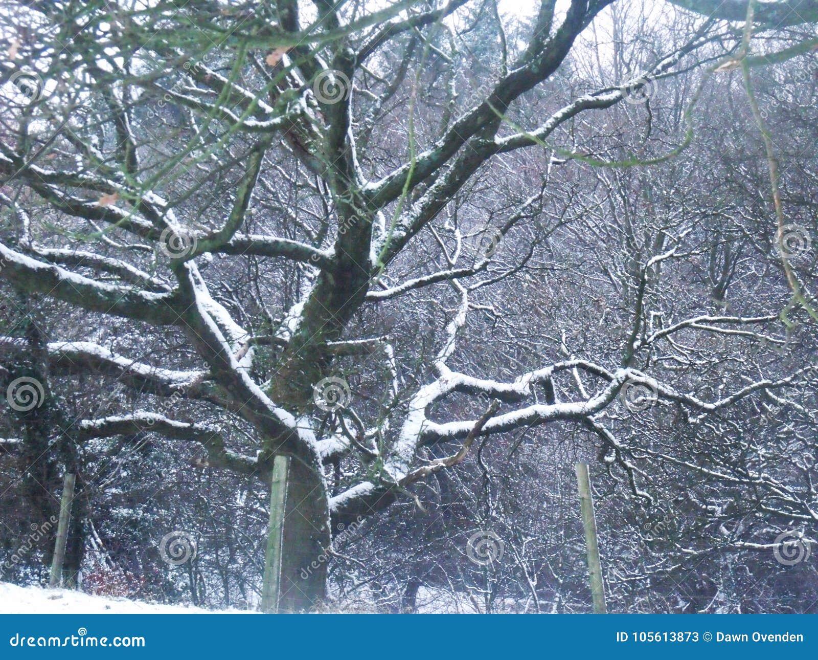 Naakt, sneeuw geladen boom