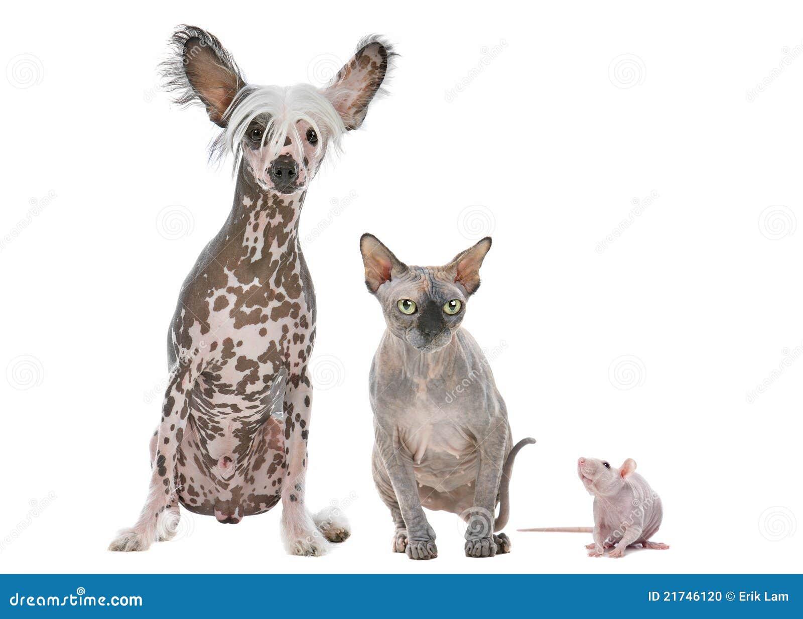 Naakte Hond Kat En Rat Stock Foto Afbeelding 21746120