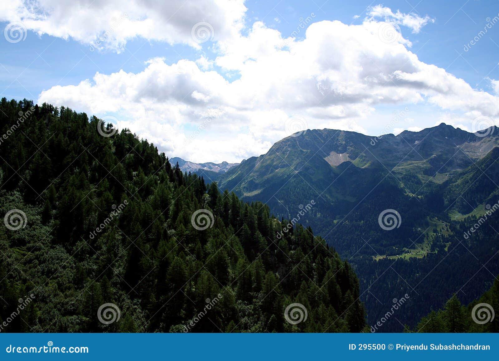 Naald bomen op berg