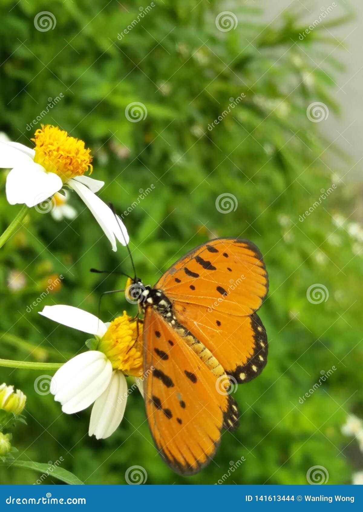 Naamloze vlinder