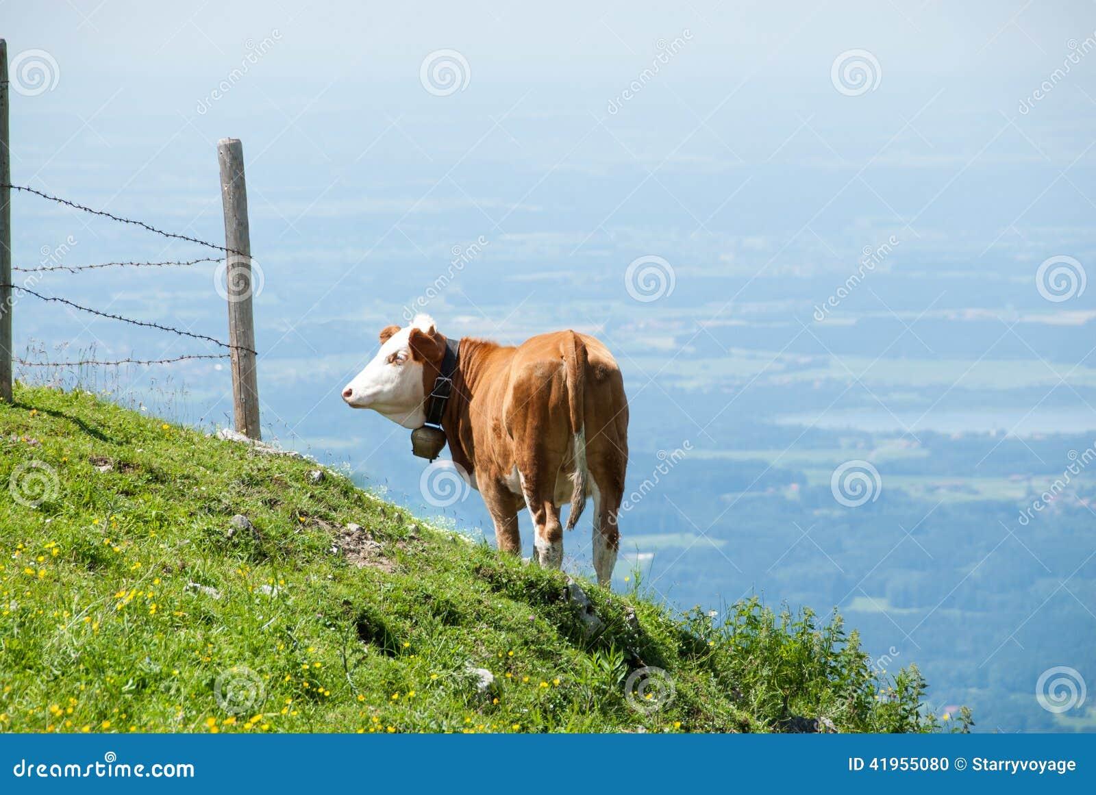 Nabiał krowa Teeters na krawędzi światu
