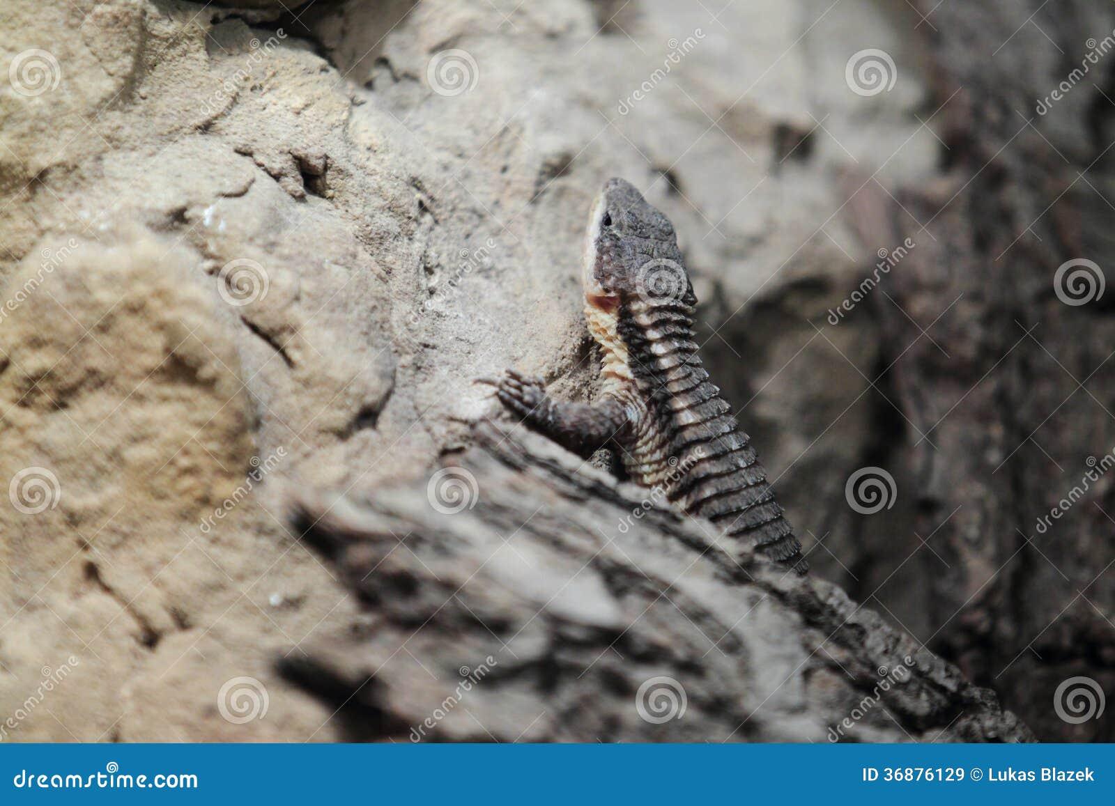 Nach Osten Afrikaner stachelig-angebundene Eidechse