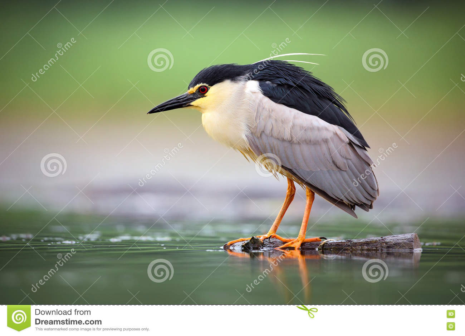 Nachtreiger, Nycticorax nycticorax, grijze watervogelzitting in het water, dier in de aardhabitat, Bulgarije
