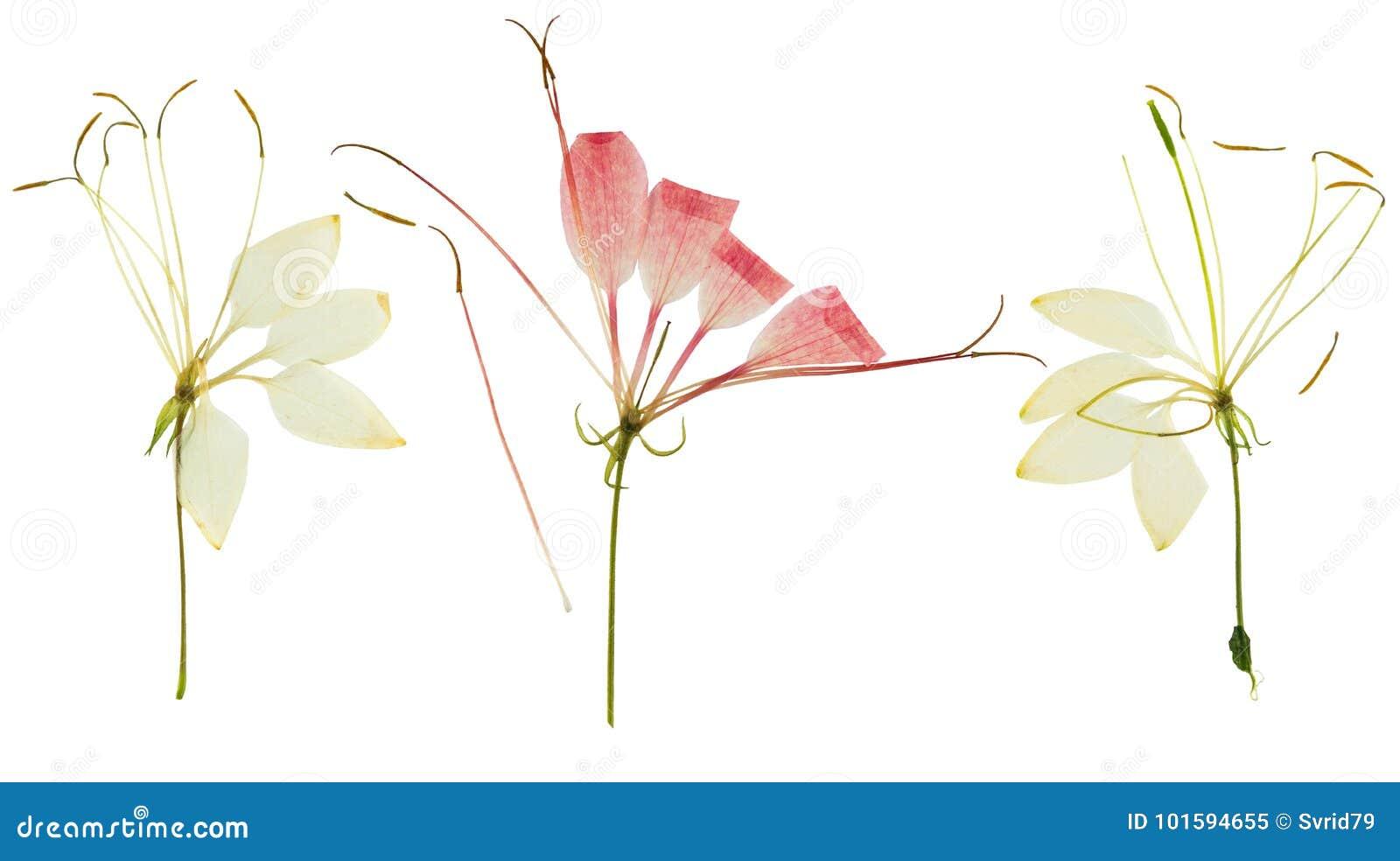 Naciskający i suszący kwiatu cleome lub pająka kwiat, odosobniony