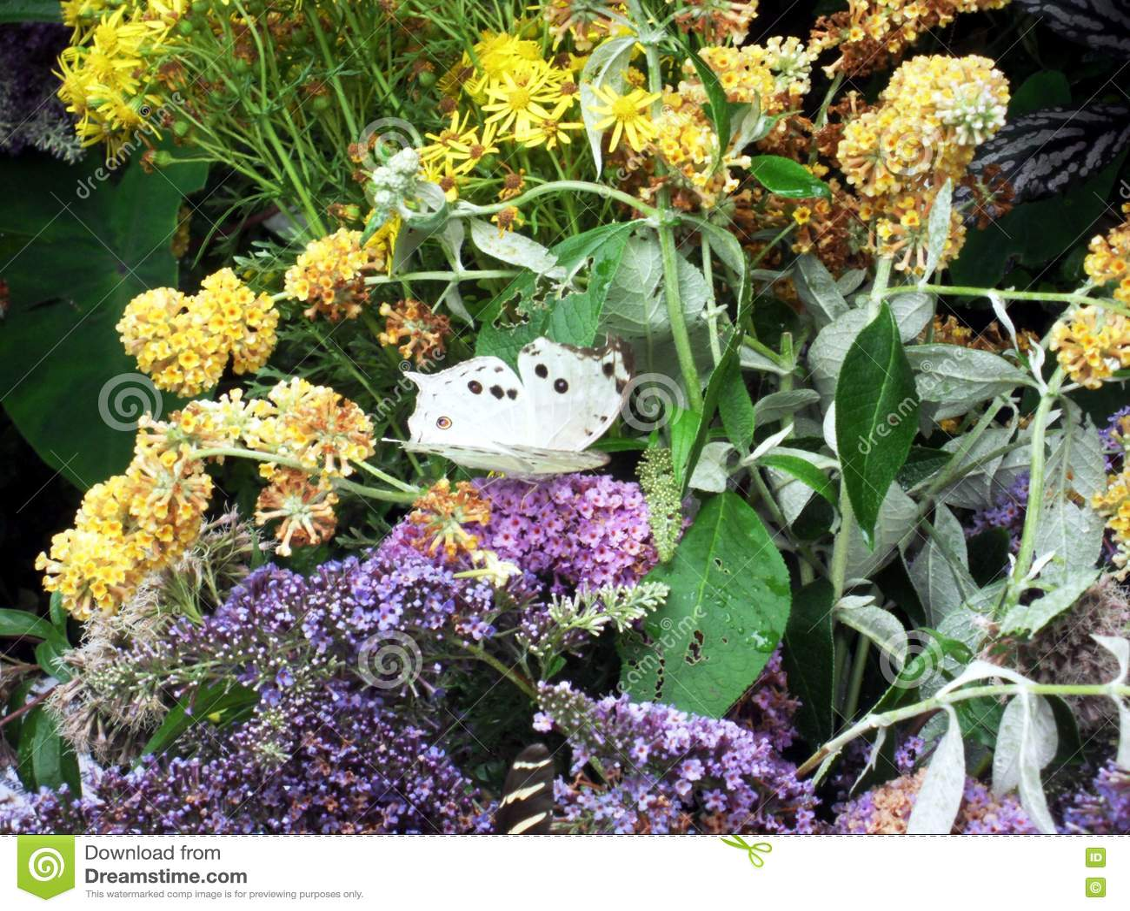 Nacre - papillon tropical