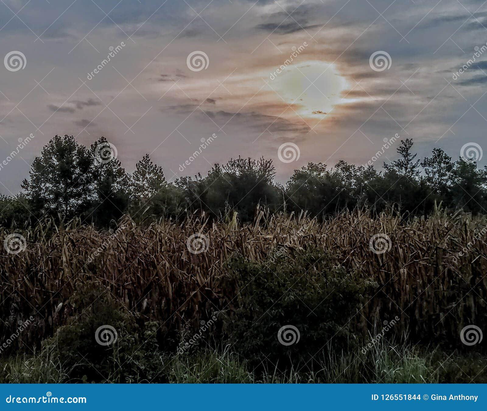 Nad wschód słońca kukurydzany pole
