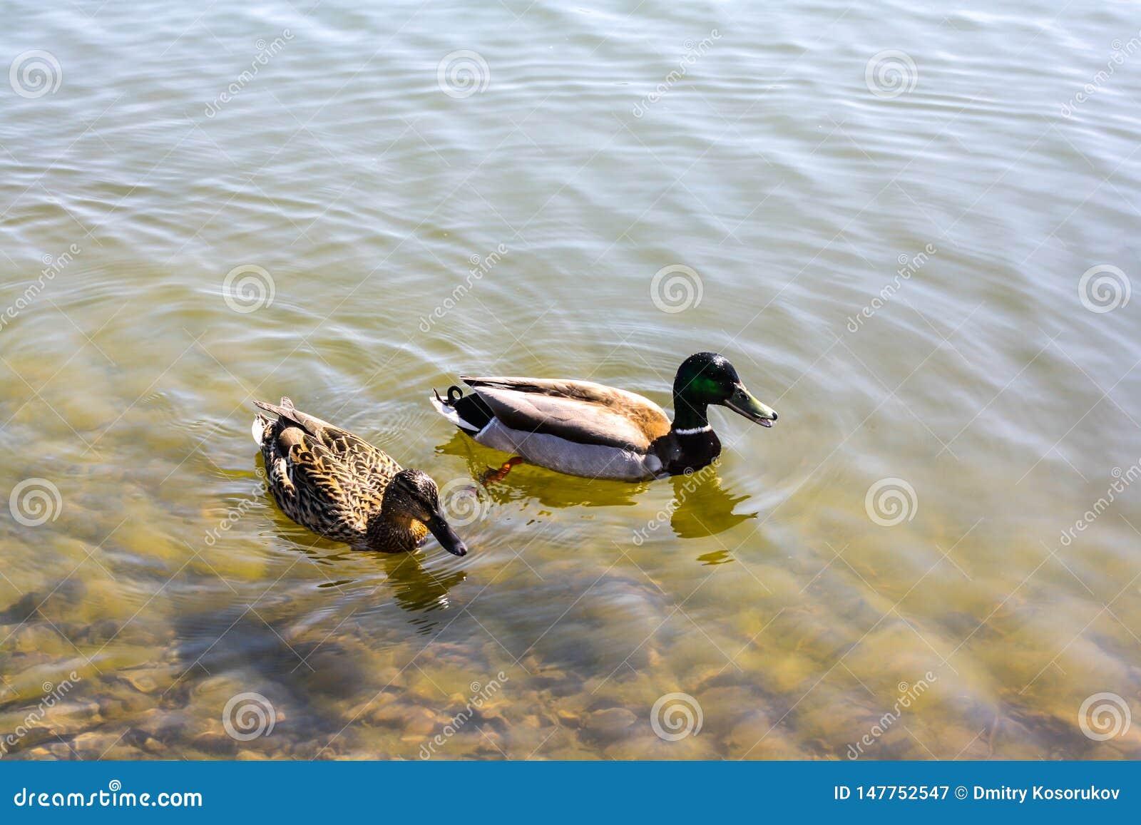 Nadada de dois patos na lagoa