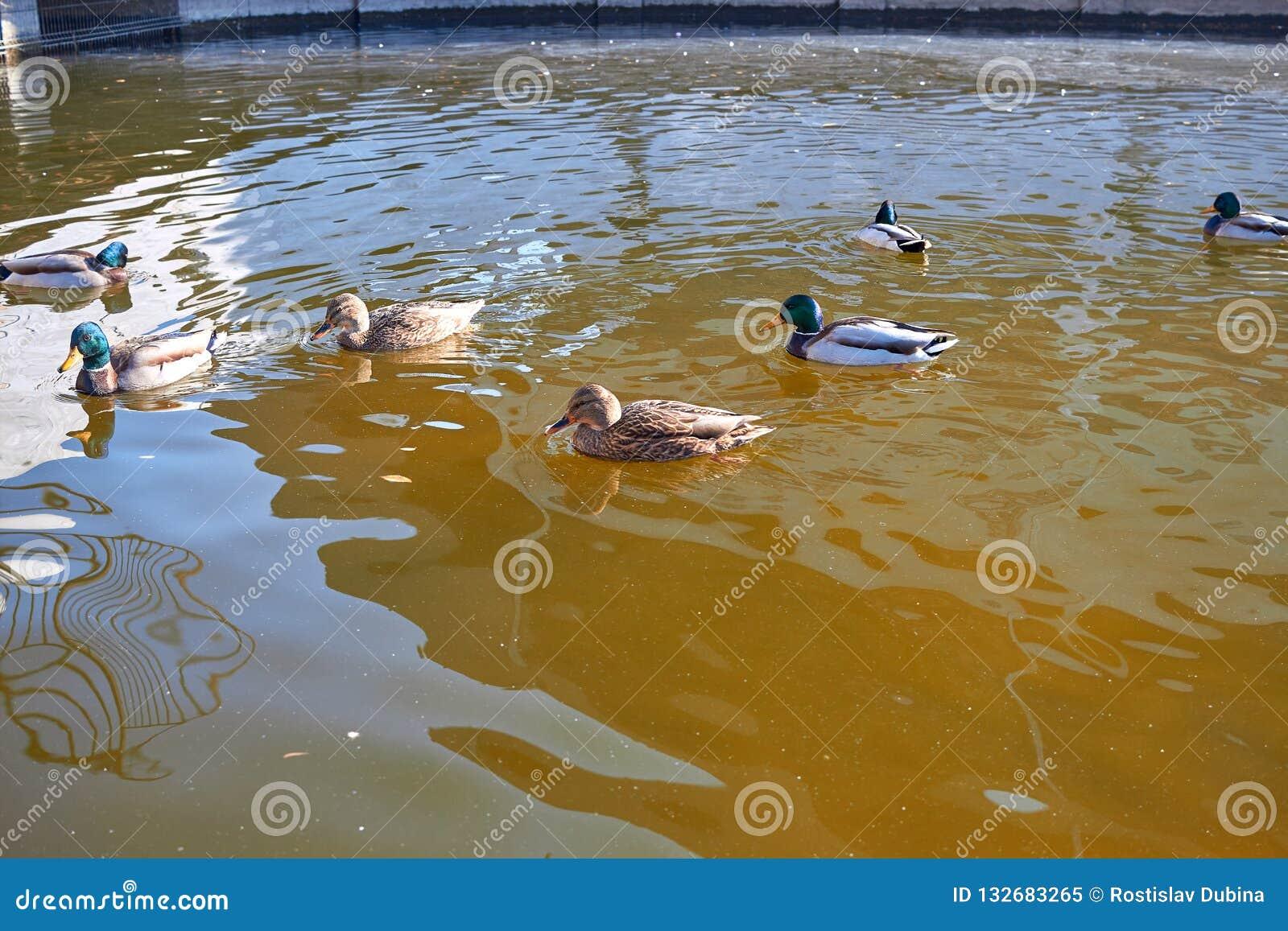 Nadada de los patos en el agua Drake nada en el lago Swi de muchos patos