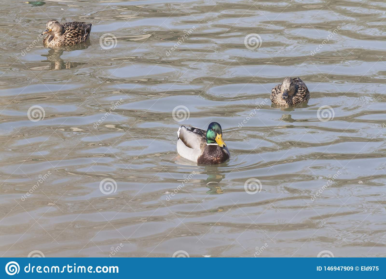 Nadada dos patos selvagens na lagoa