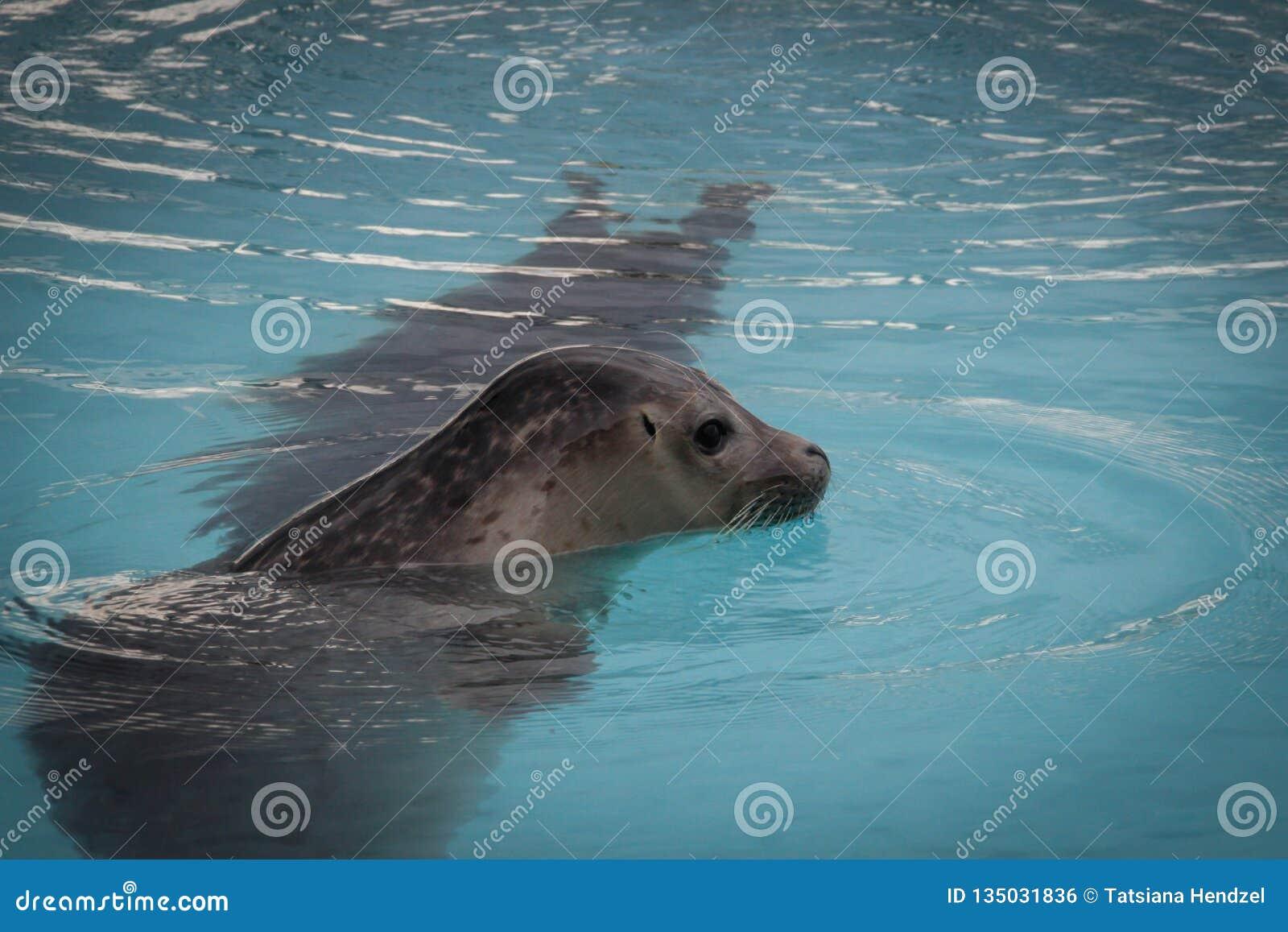 Nadadas lindas del lobo marino en el agua de la piscina de la turquesa