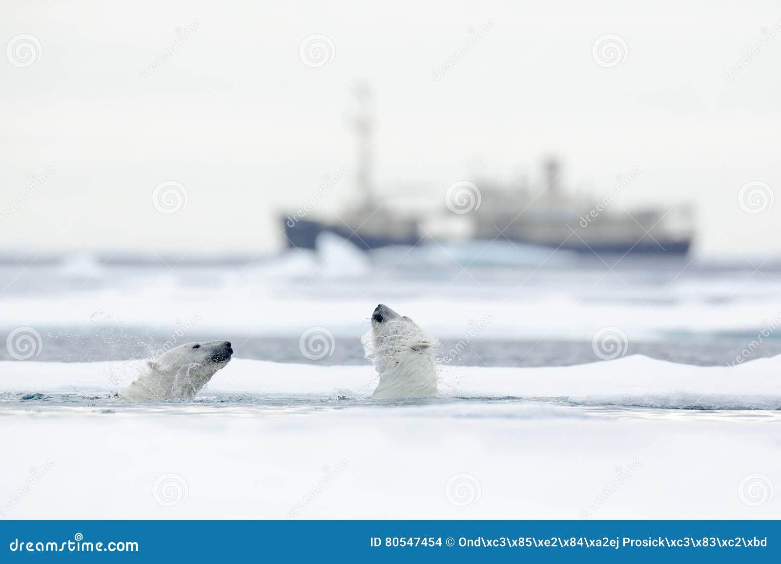Nadando dois ursos polares Luta de ursos polares na água entre o gelo de tração com neve Microplaqueta borrada do cruzeiro no fun