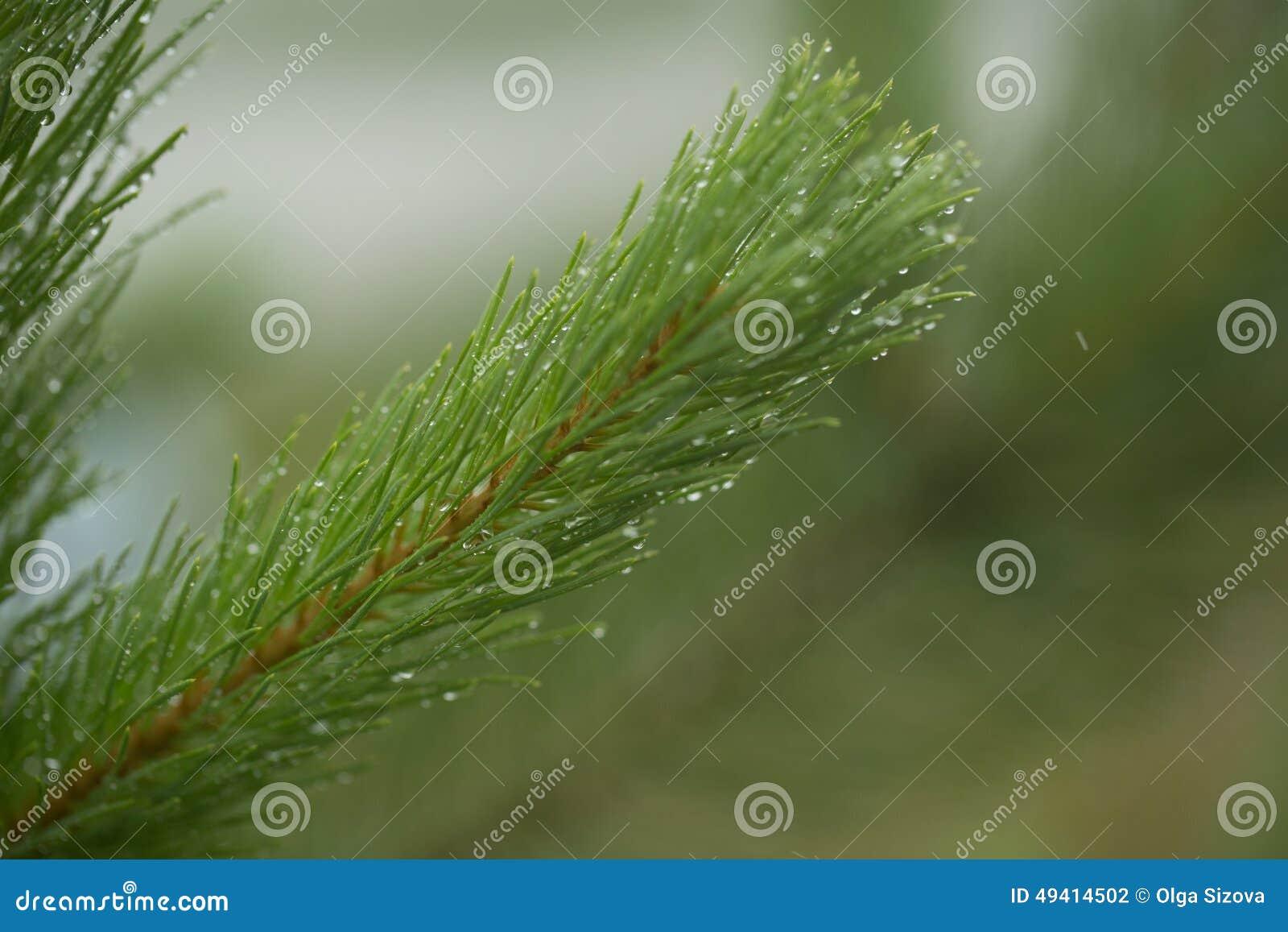 Download Nadelniederlassungs-Grünbäume Nach Regen Stockfoto - Bild von frech, grün: 49414502