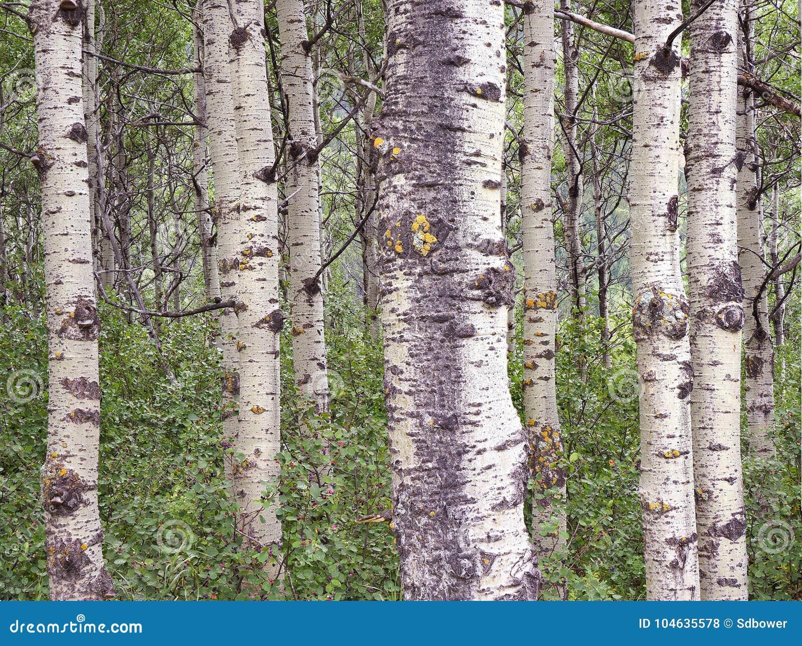 Download Nadruk Gestapeld Beeld Van Een Bosje Van Aspen Trees In Waterton Nation Stock Foto - Afbeelding bestaande uit gebied, gestapeld: 104635578