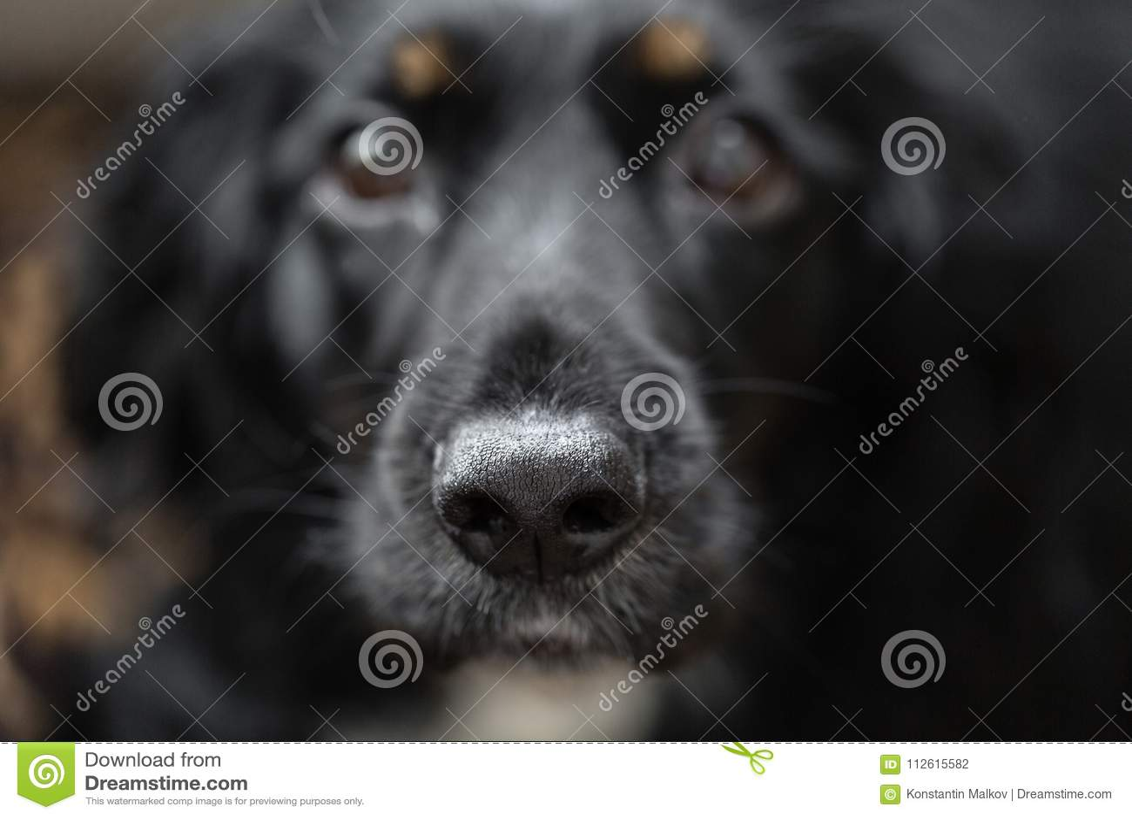 Nadruk op zwarte mooie neus Close-upportret van mooie zwarte spanielhond De grote hond wil familie vinden en