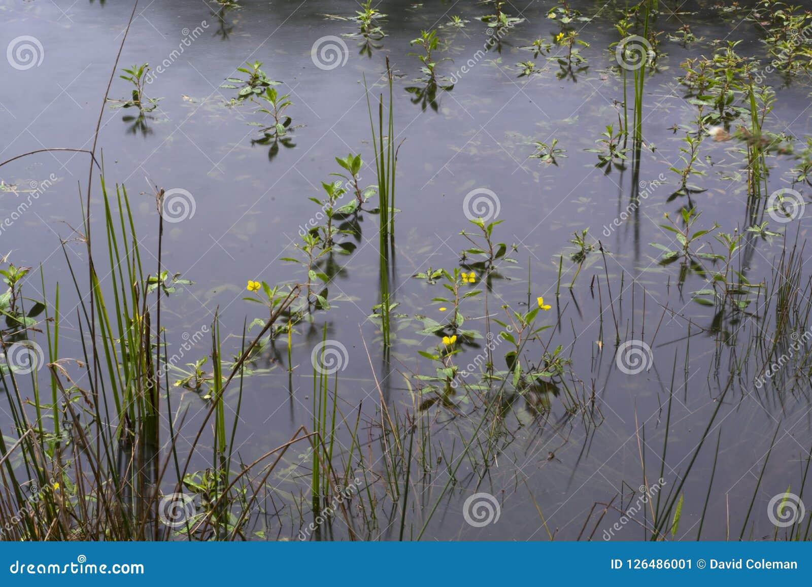 Nadwodne rośliny w deszczu