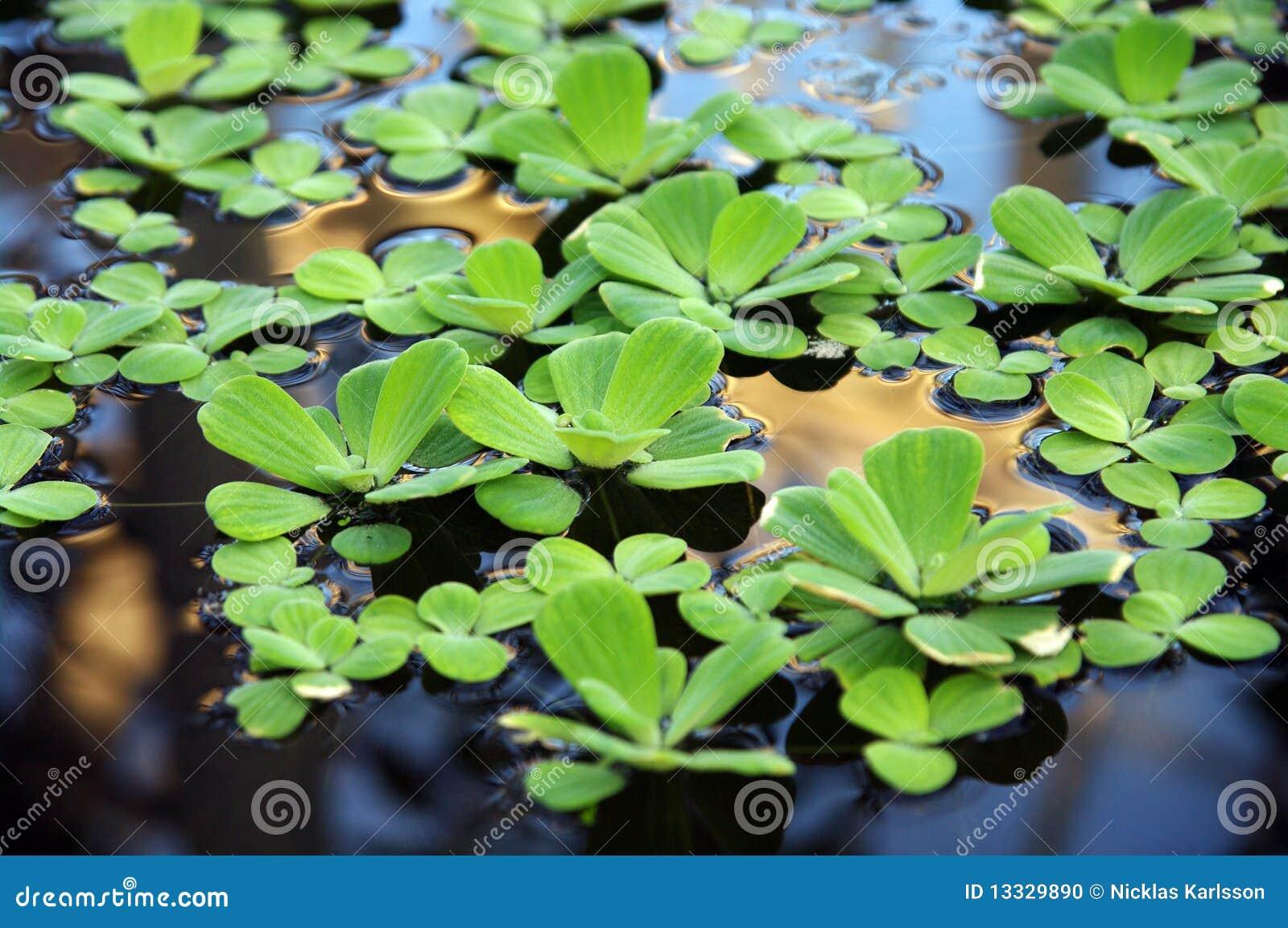 Nadwodne rośliny