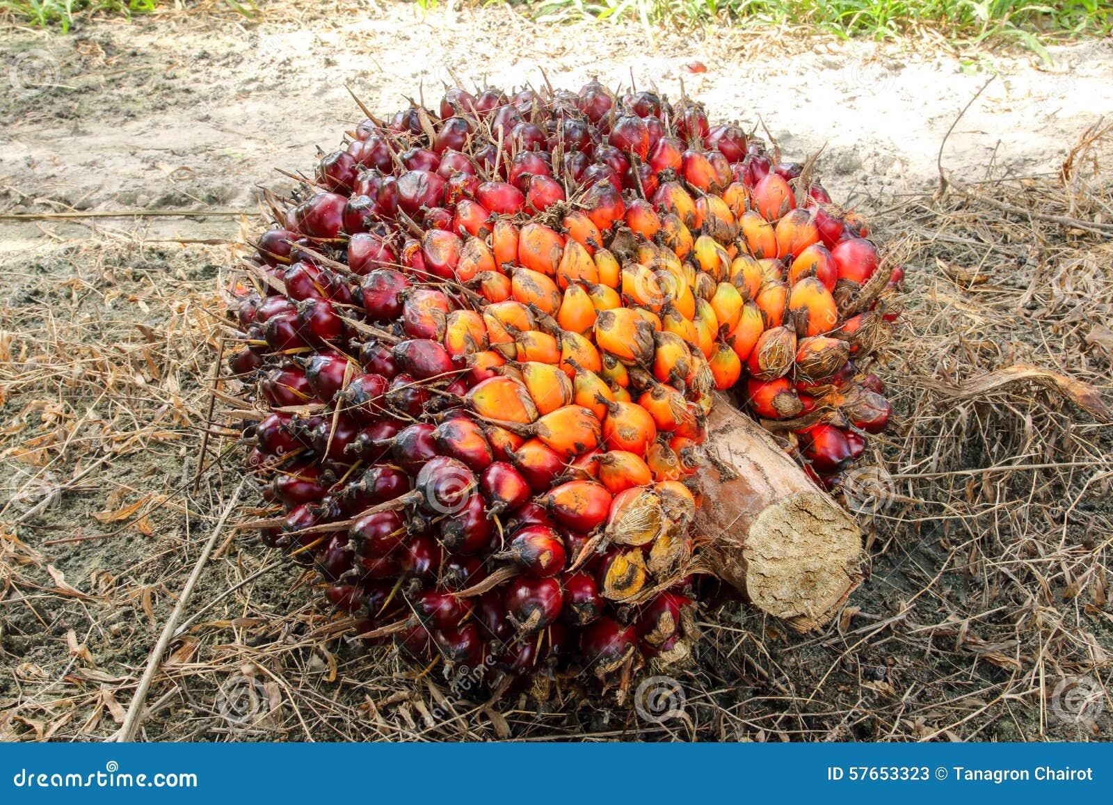 Nafcianej palmy owoc wiązki
