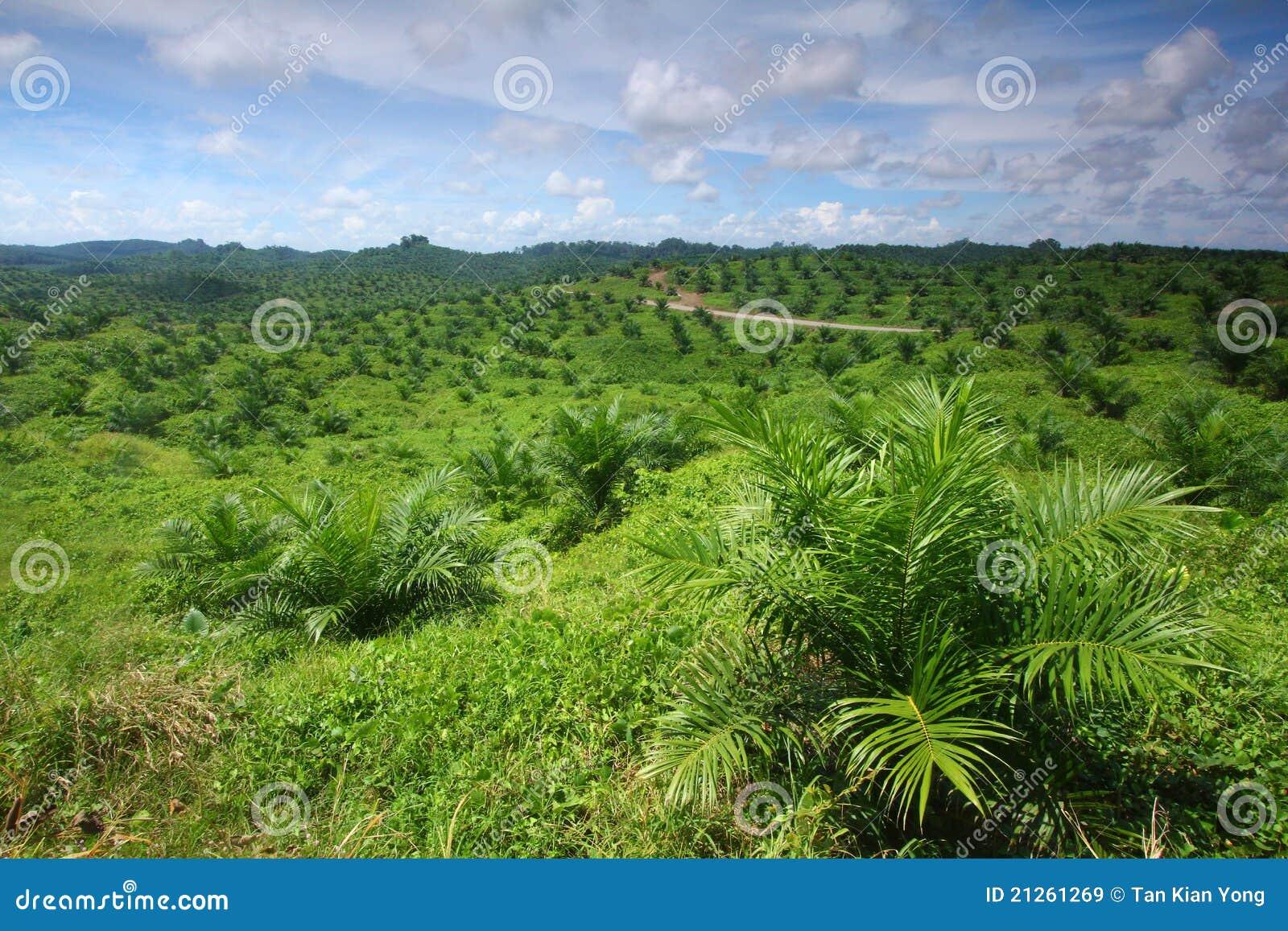 Nafcianej palmy plantaci potomstwa