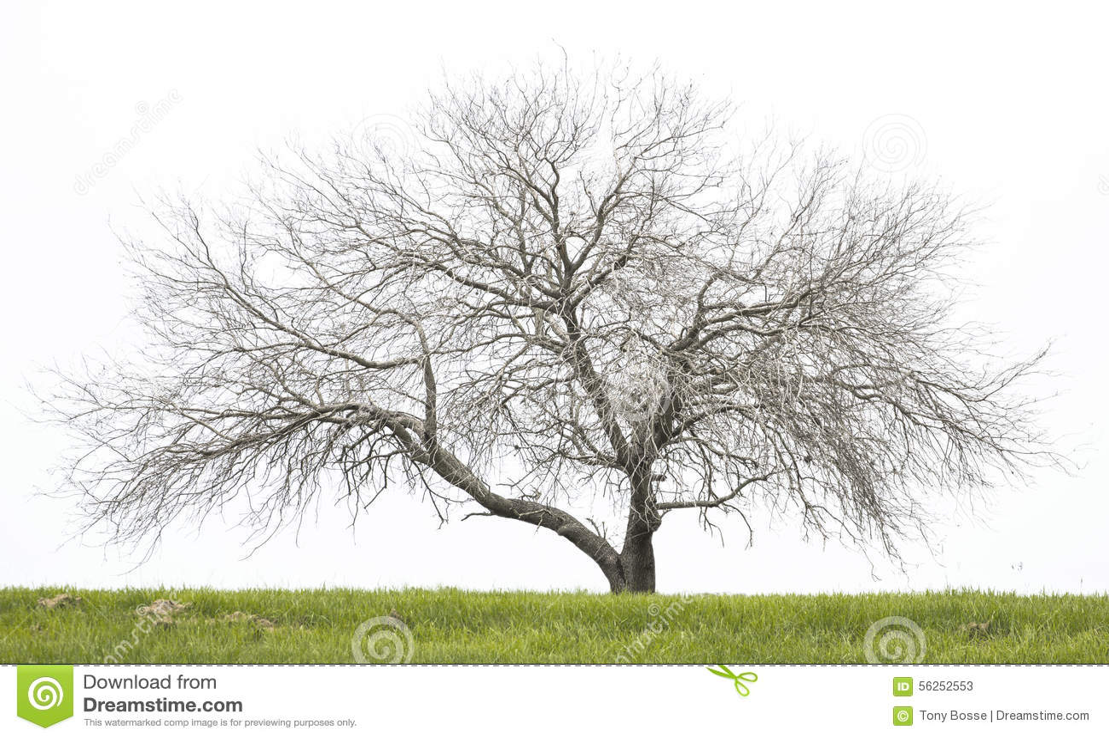 Nagi dębowy drzewo