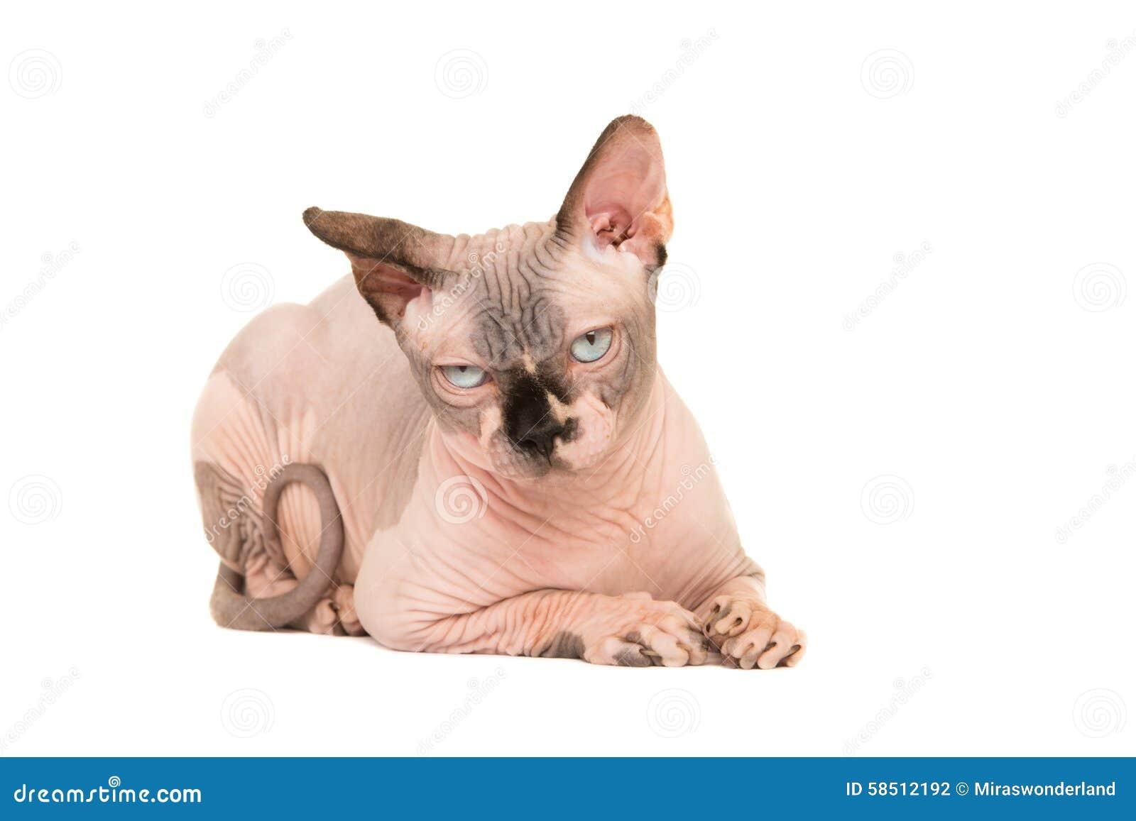 Nagi marszczący sfinksa kota łgarski puszek patrzeje gderliwy