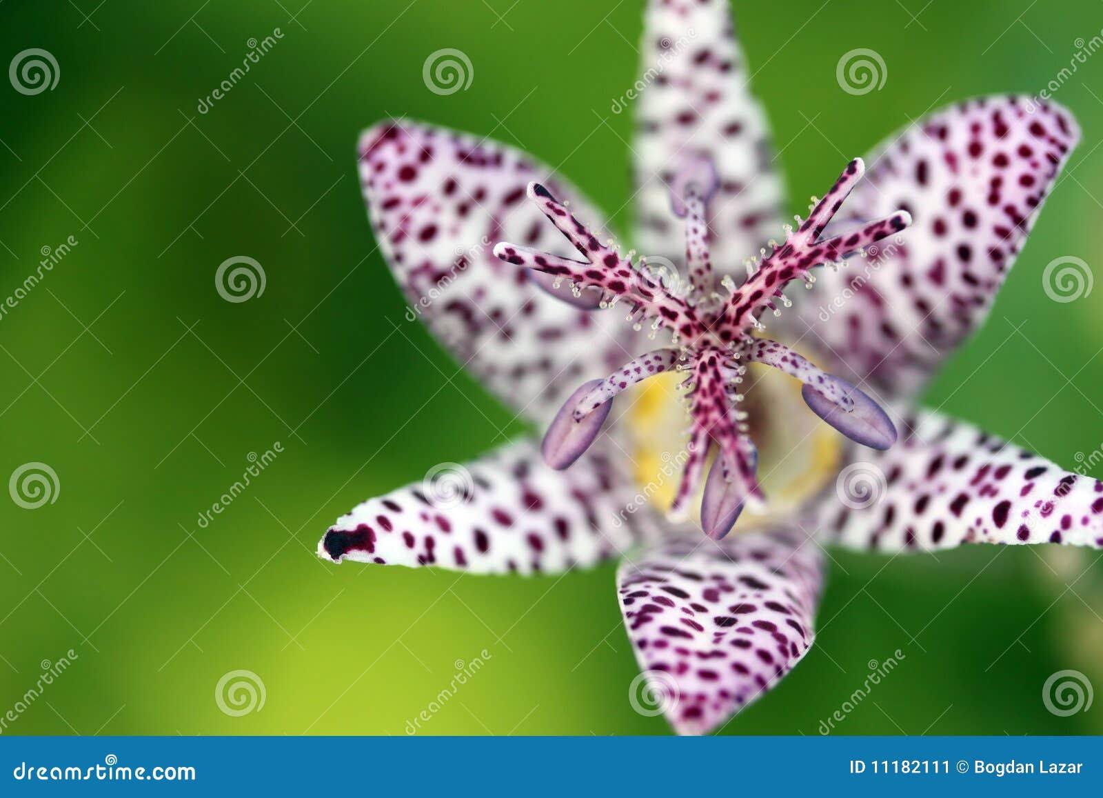 Nahaufnahme auf einer Krötenlilie (Tricyrtis hirta)