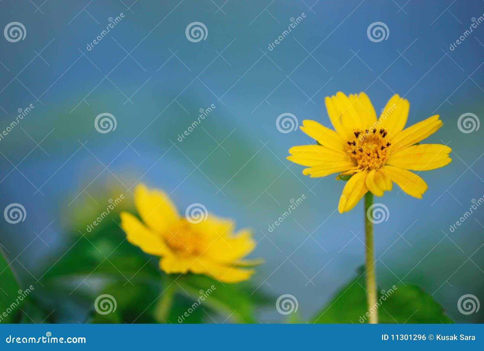 Nahaufnahme auf gelben Astern