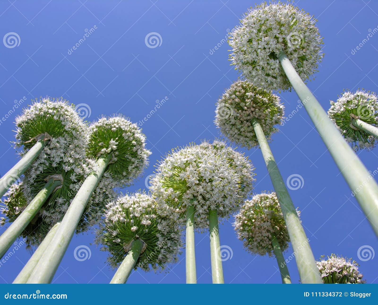 Nahaufnahme der blühenden Thailand-Hakenlilie im Gemüsegarten