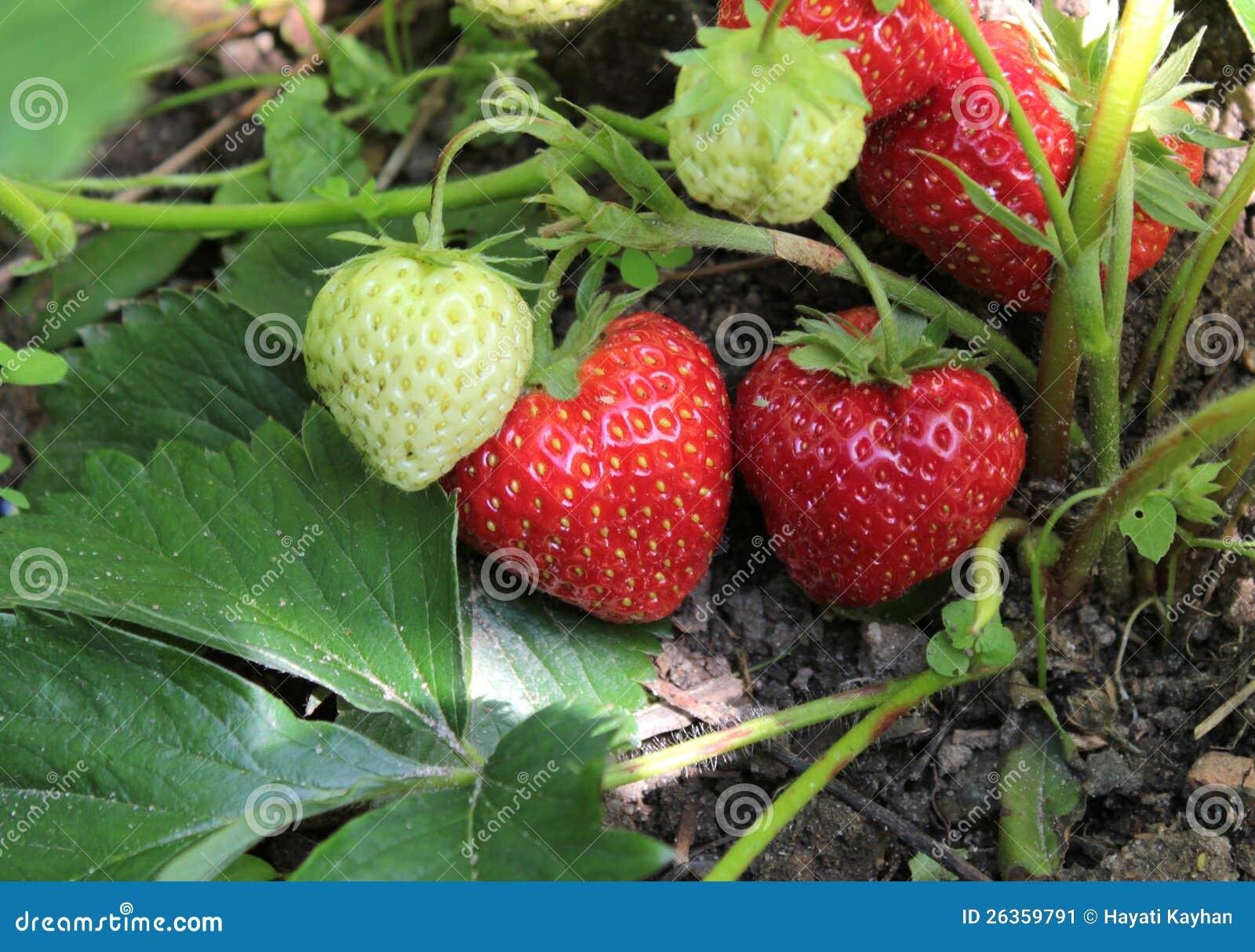 Nahaufnahme der frischen organischen Erdbeeren
