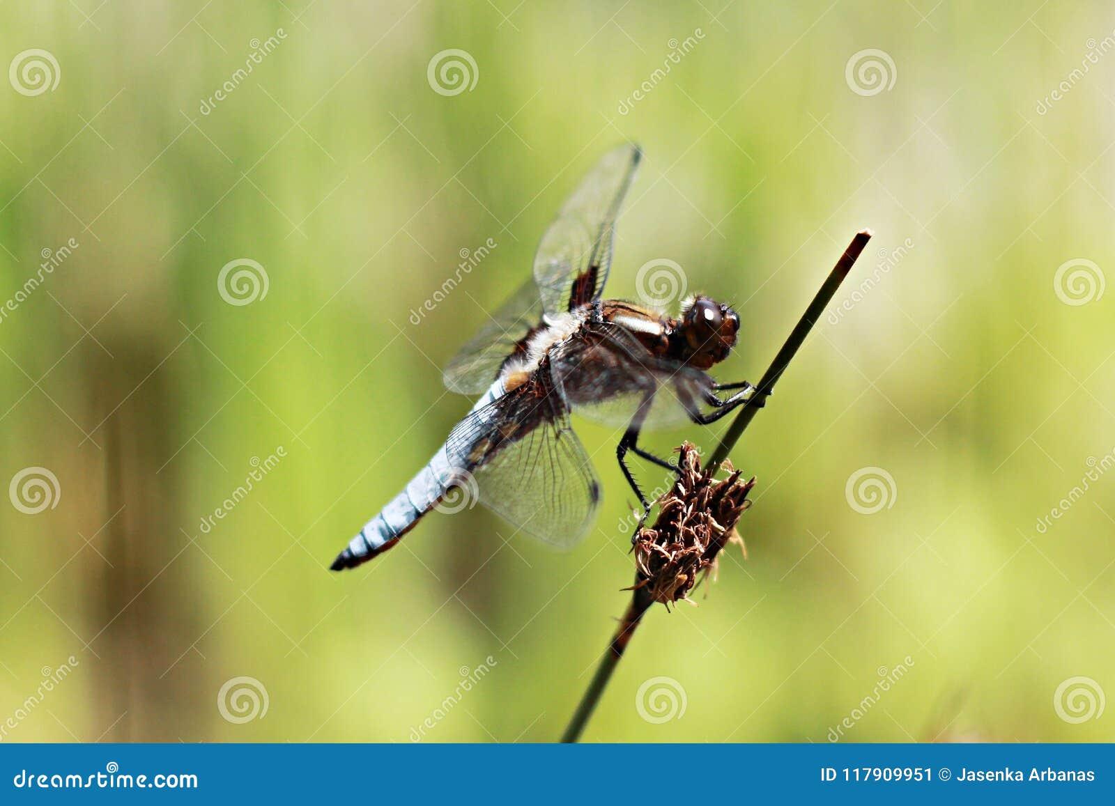 Nahaufnahme der Libelle auf Stamm