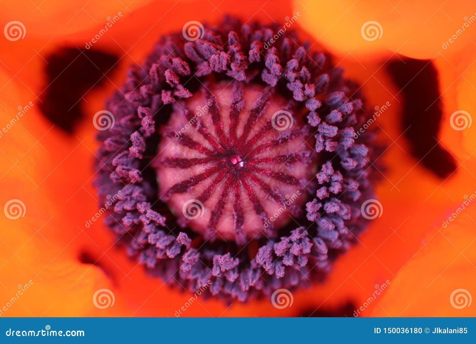 Nahaufnahme der Mitte einer roten Mohnblume
