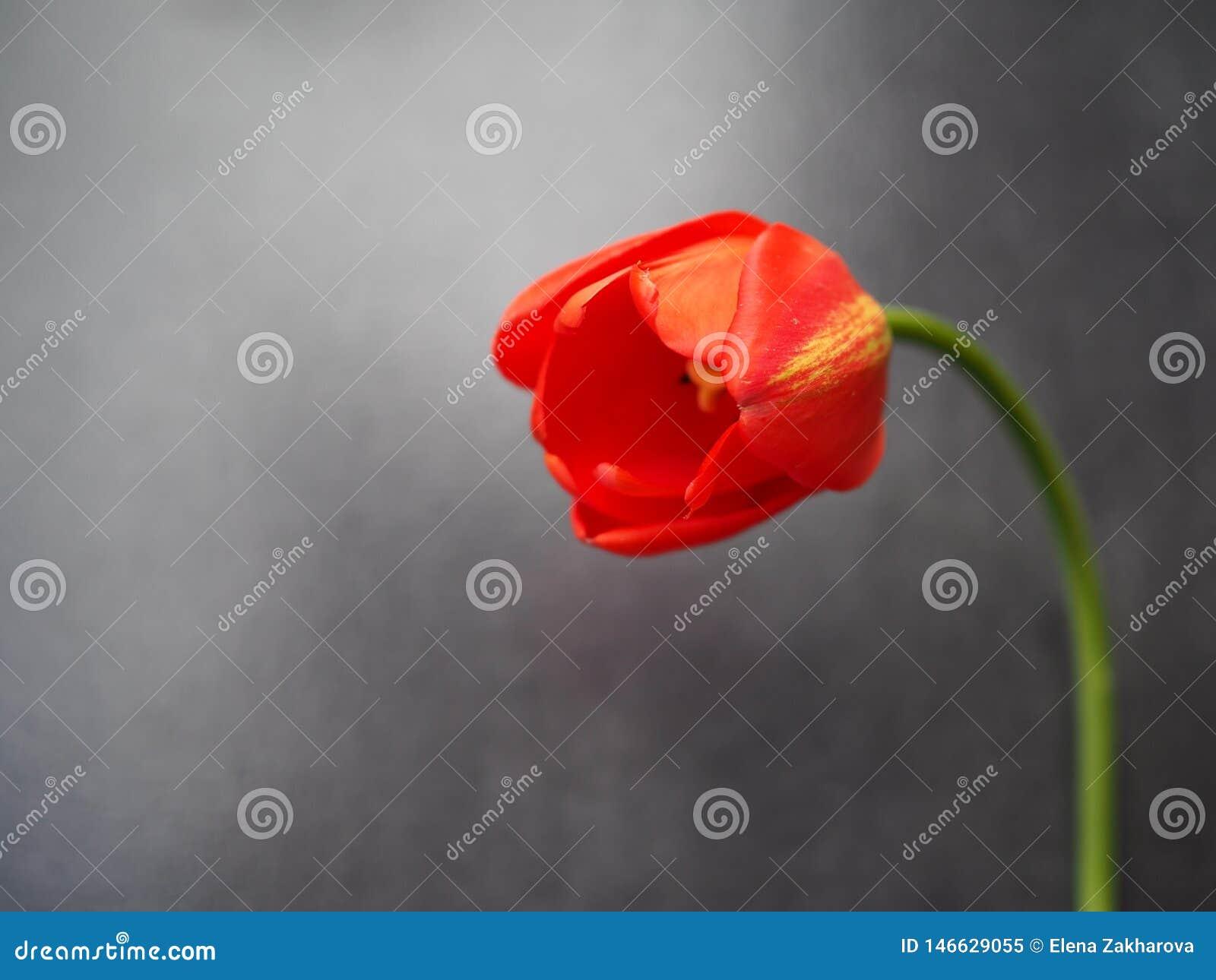 Nahaufnahme der Tulpenblume auf grauem Hintergrund