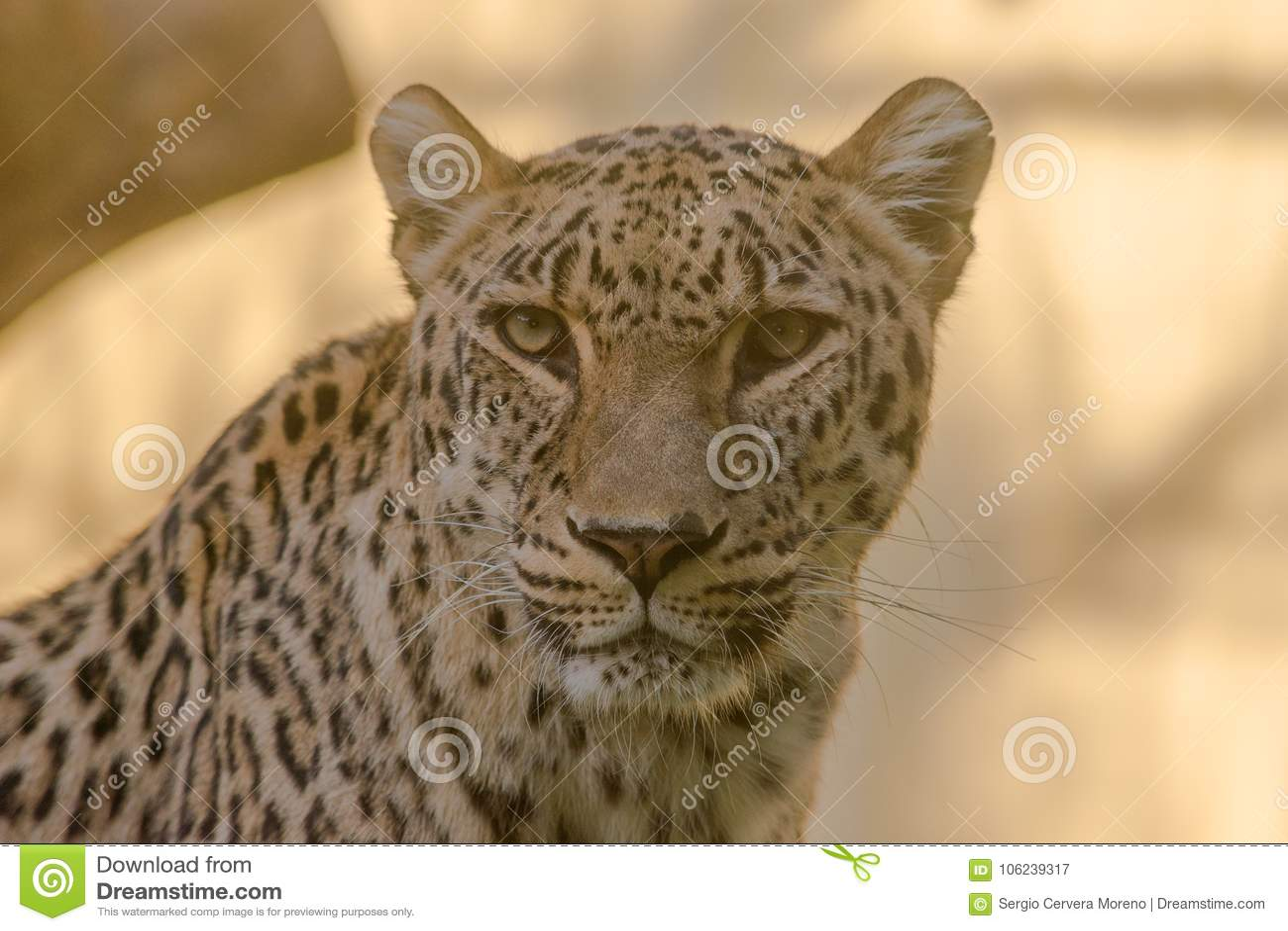Nahaufnahme des Gesichtes und des Blickes eines Leoparden