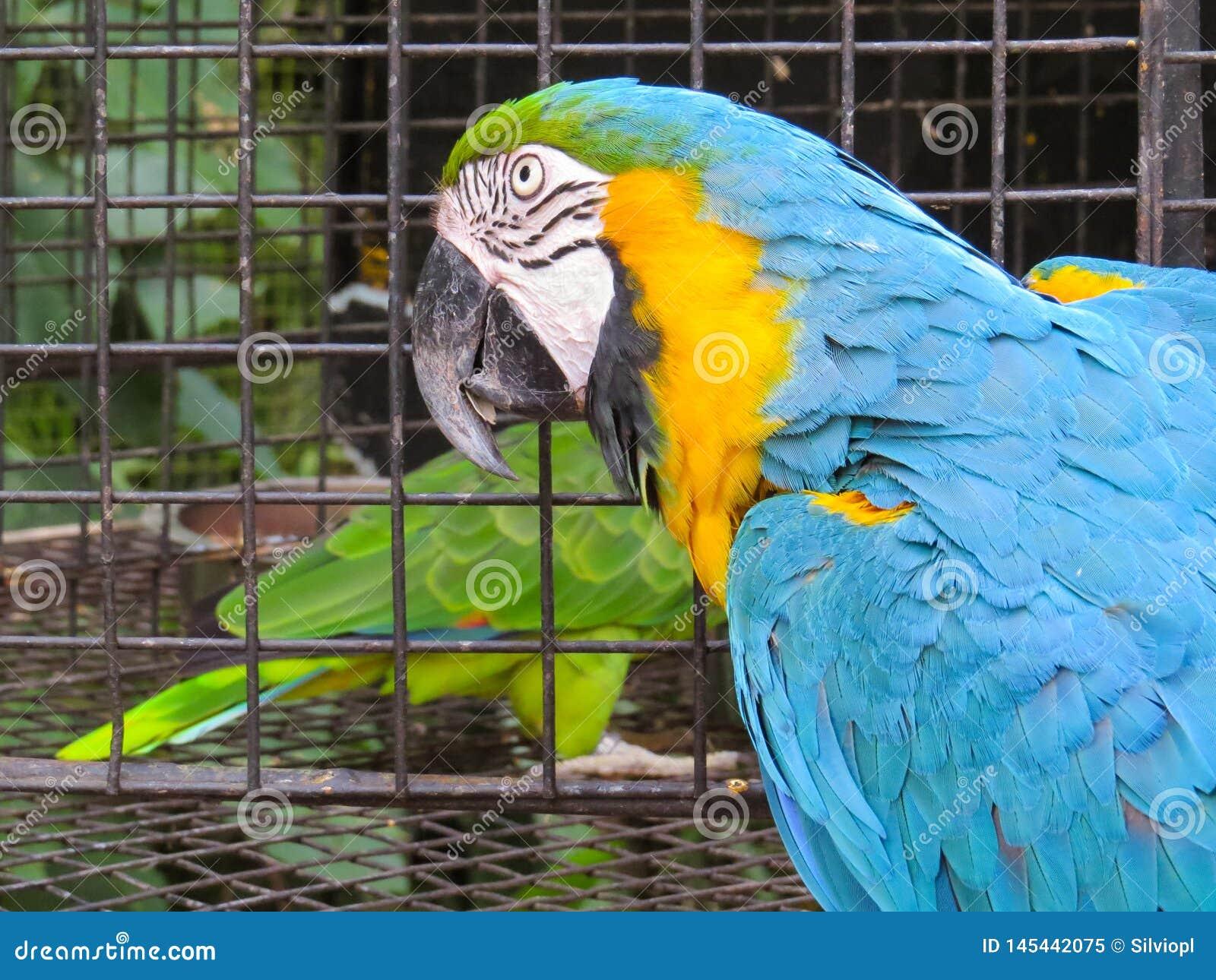 Nahaufnahme des Kopfes eines blau-und-gelben Keilschwanzsittichs
