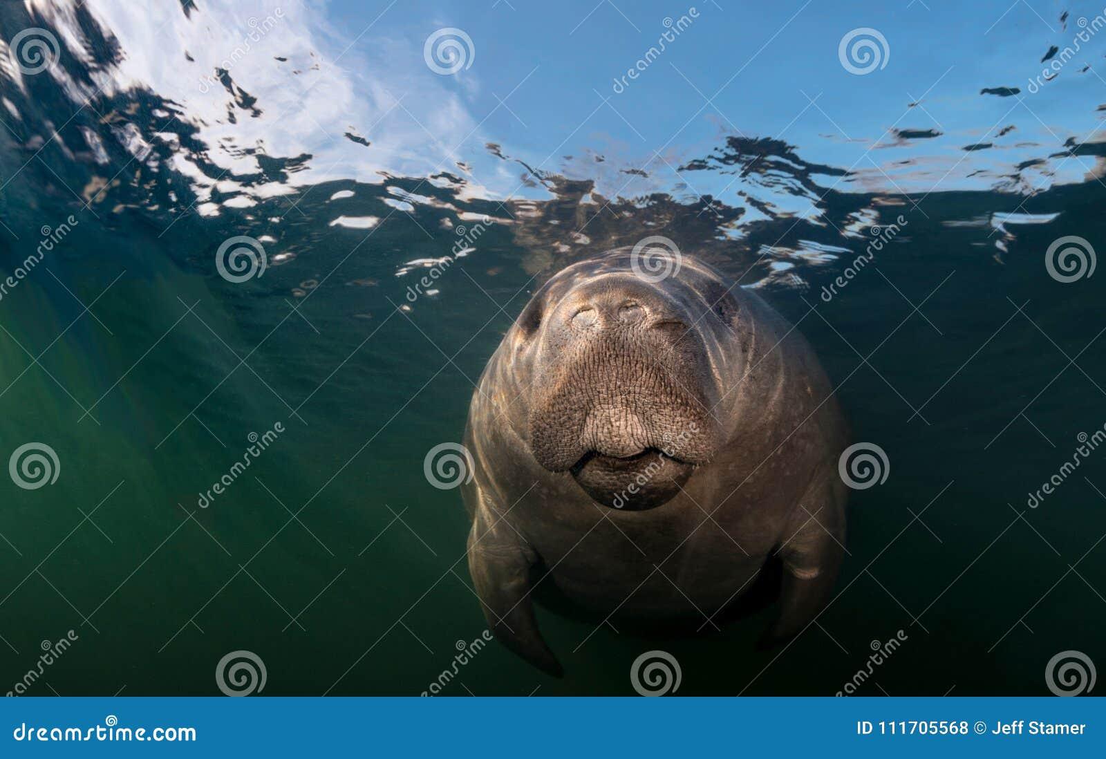 Nahaufnahme des Manatiss Unterwasser