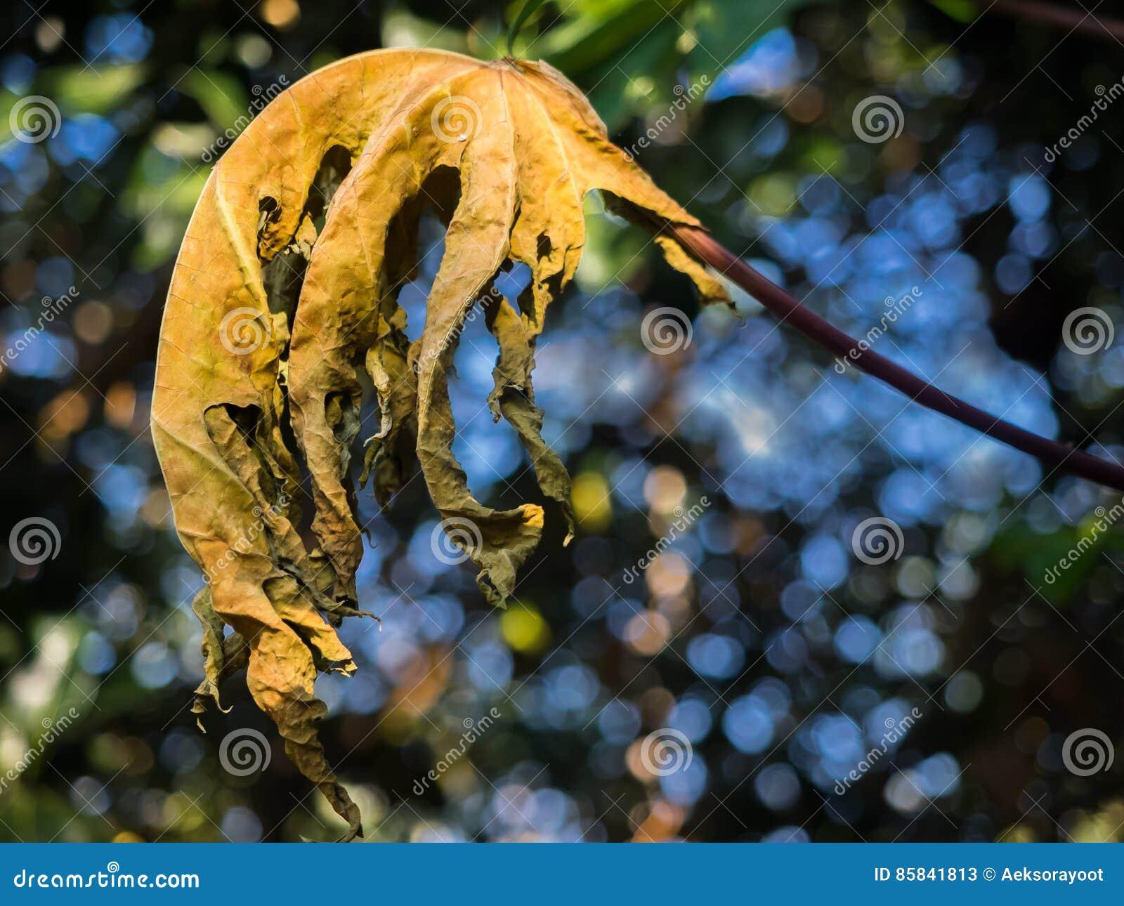 Nahaufnahme des trockenen Papayablattes