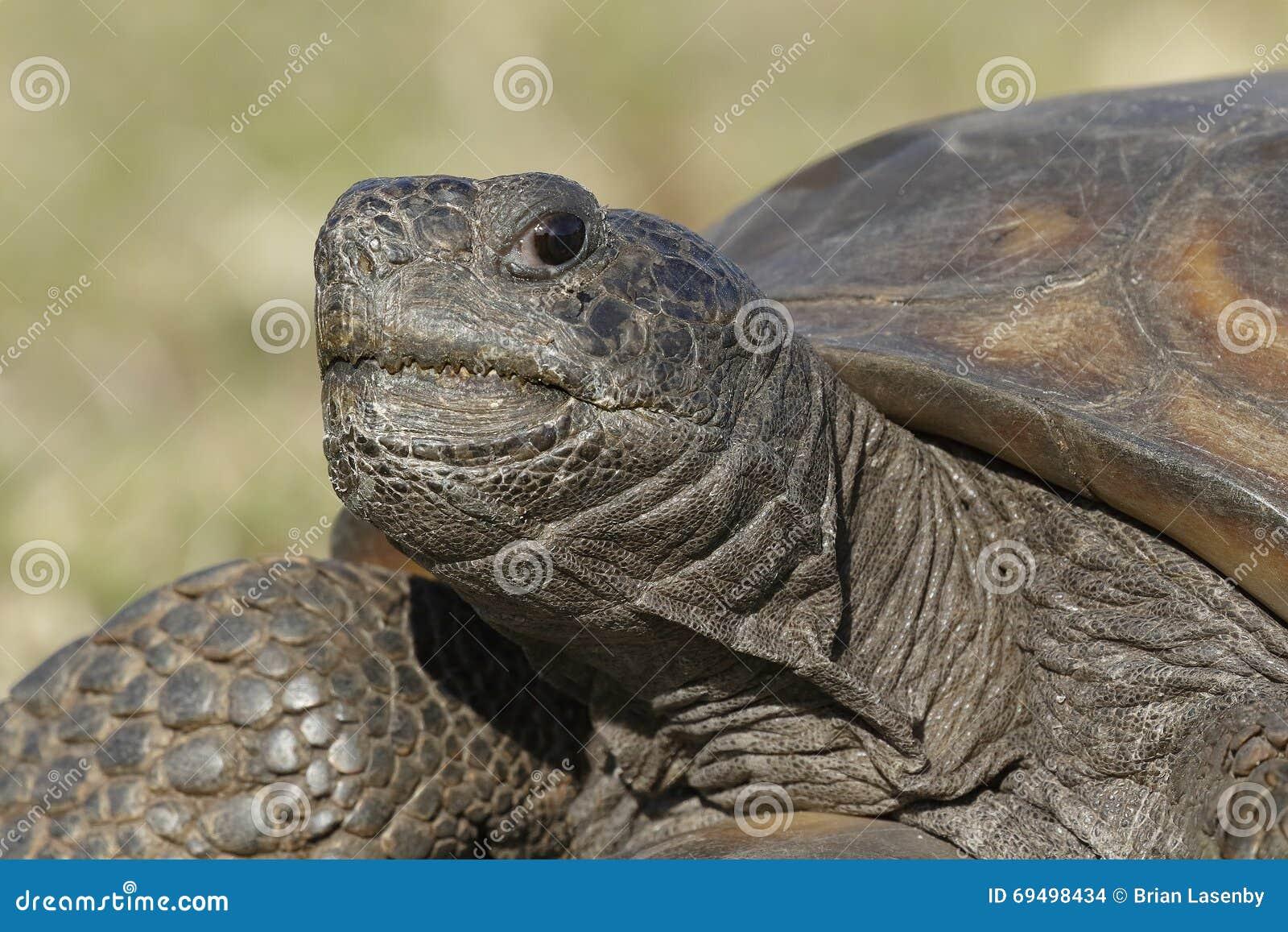 Nahaufnahme einer gefährdeten Gopher-Schildkröte