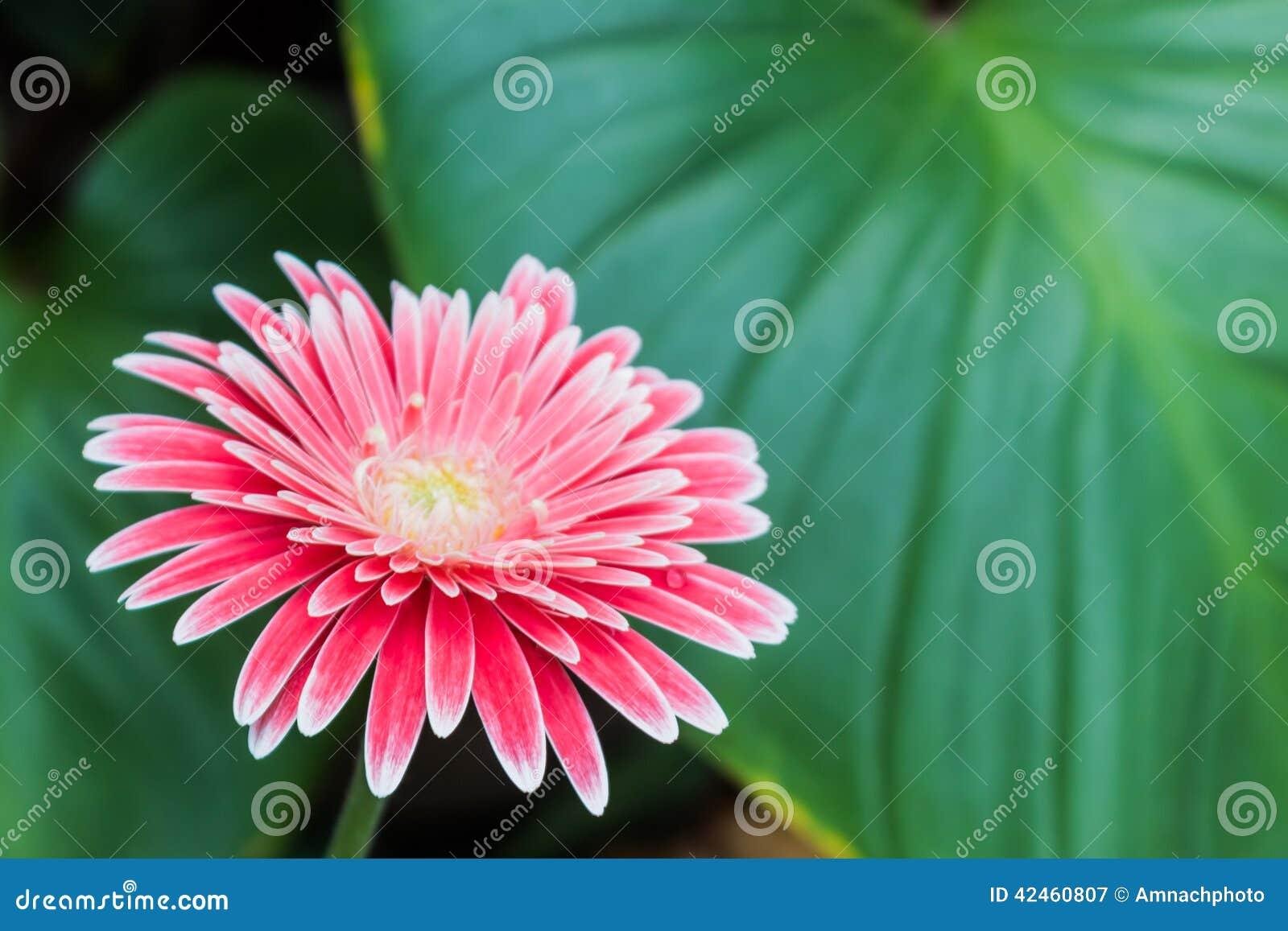 Nahaufnahme einer rosa Gerberagänseblümchenblume