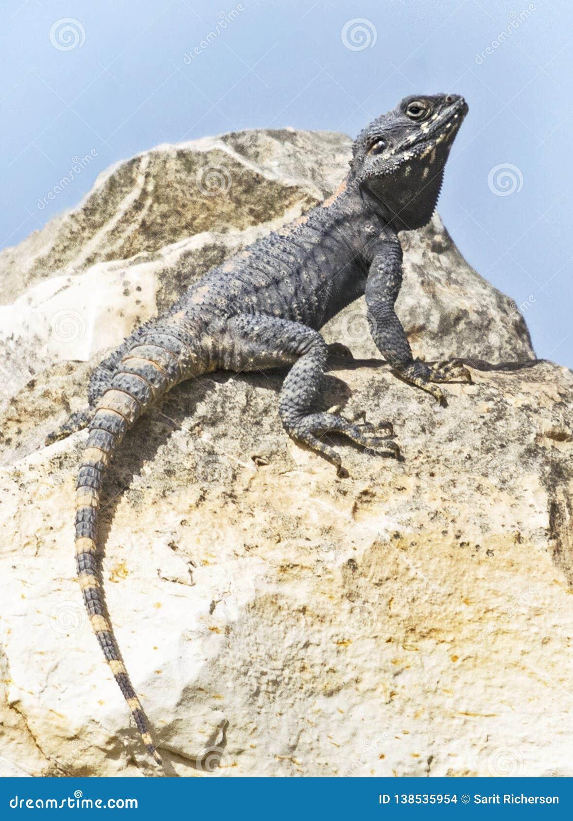 Nahaufnahme einer Roughtail-Felsen-Dickzungeneidechse-Eidechse auf einem Boulder
