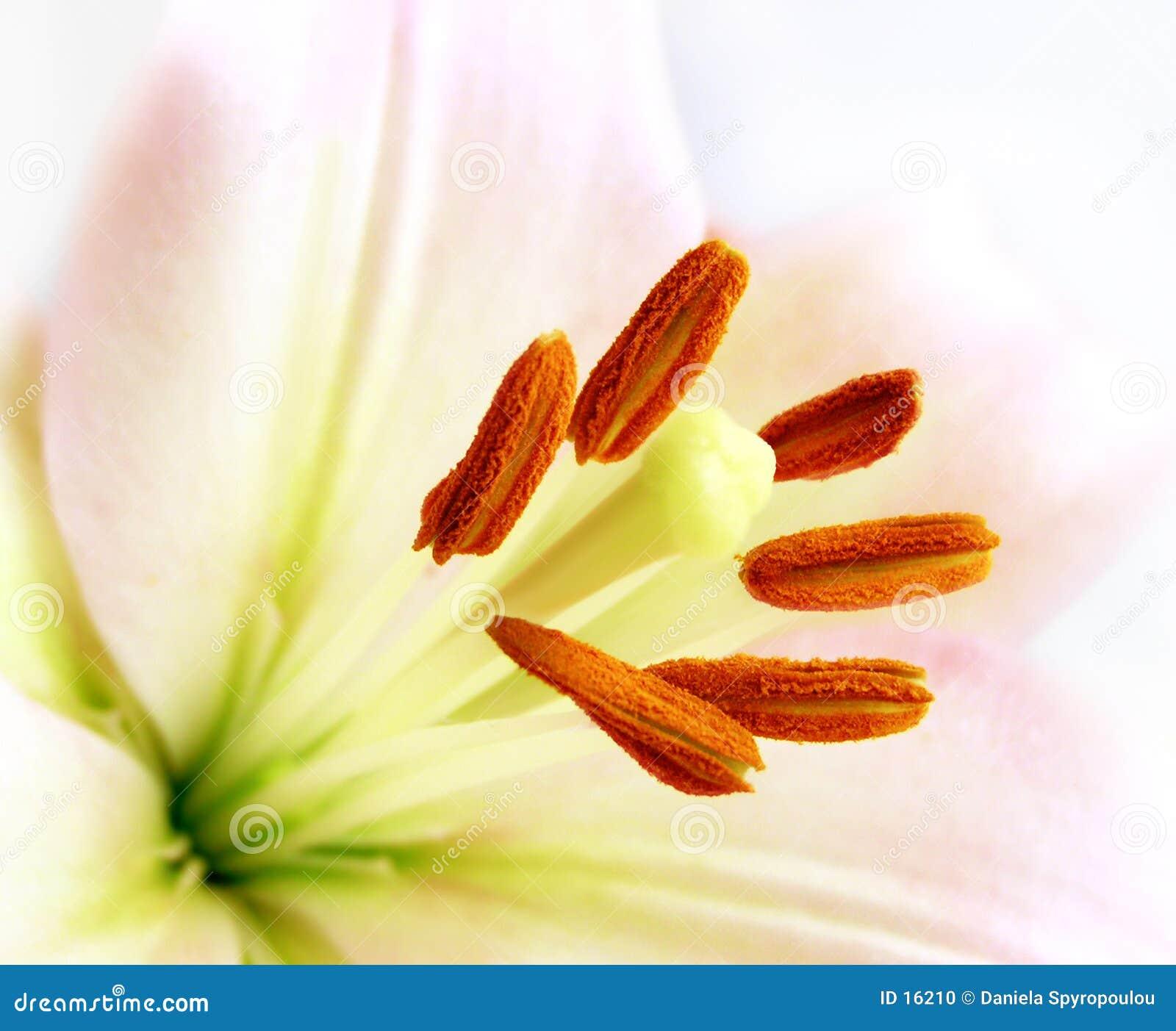 Nahaufnahme einer weißen Lilie
