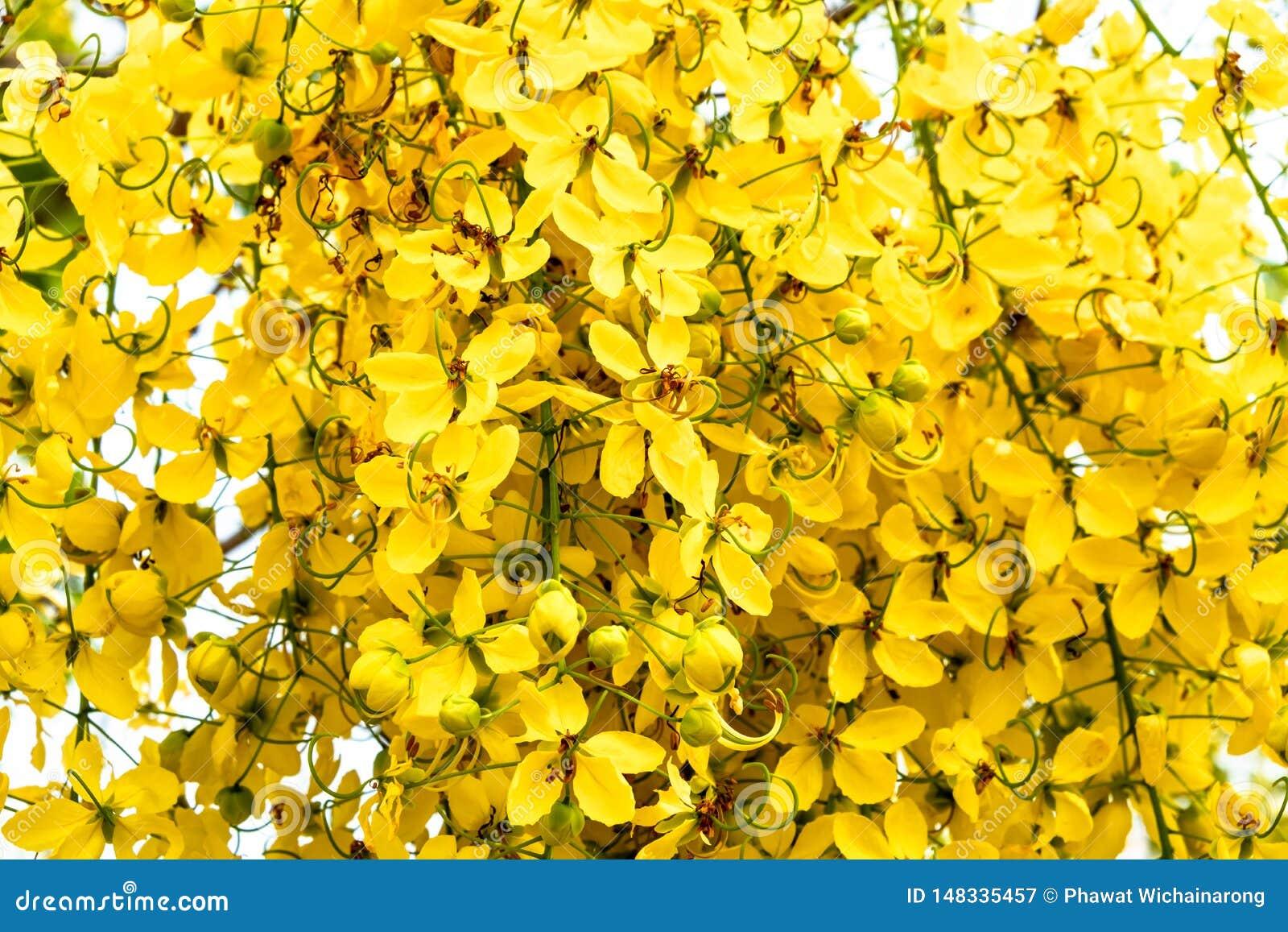 Nahaufnahme eines Bündels der gelben goldenen Duschblume gegen hellen weißen Hintergrund