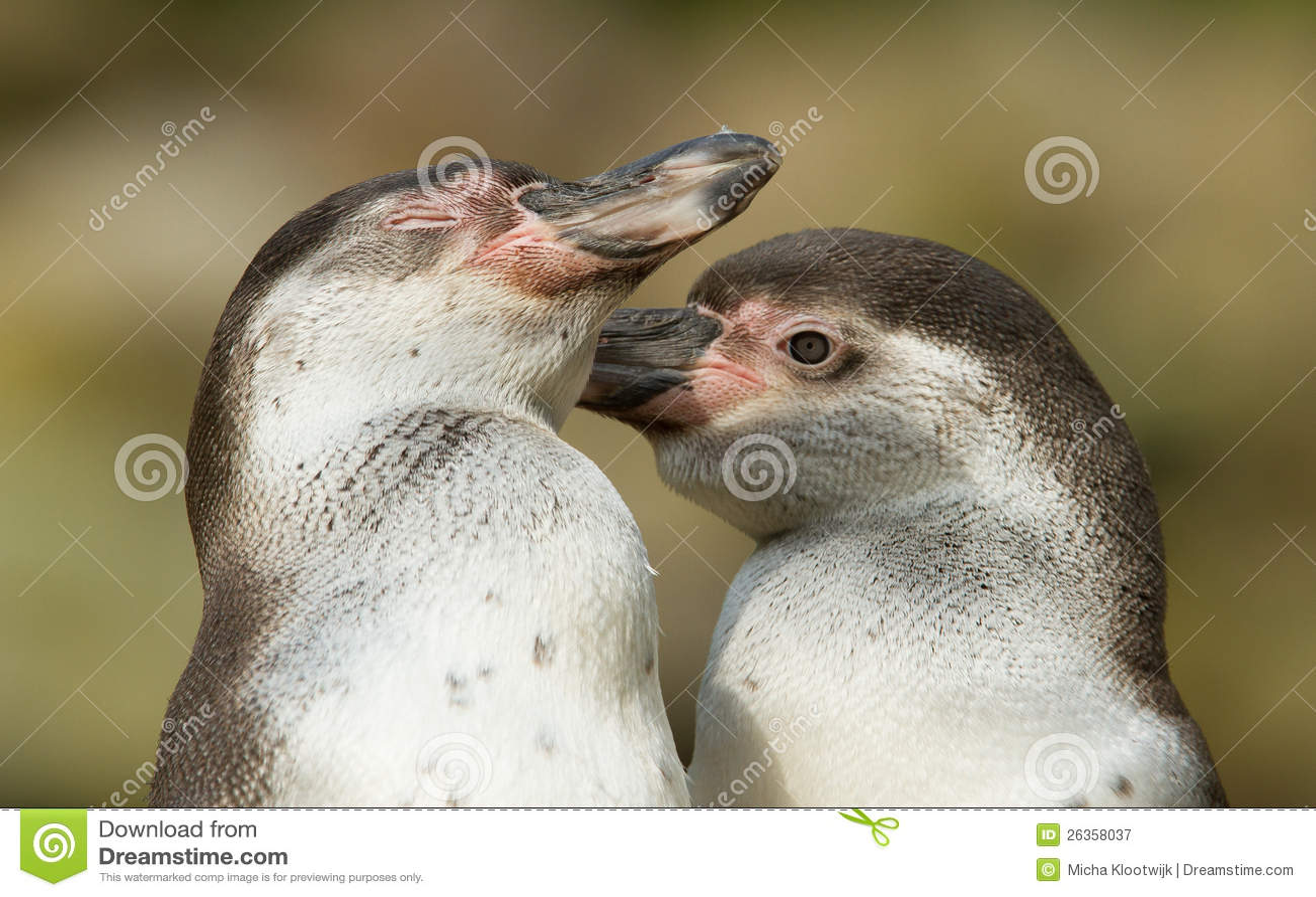 Nahaufnahme eines humboldt Pinguins