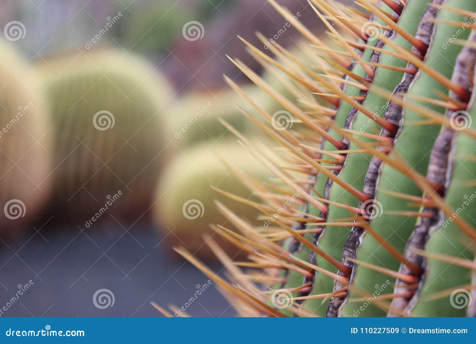 Nahaufnahme eines Kaktus und Kakteen von fern