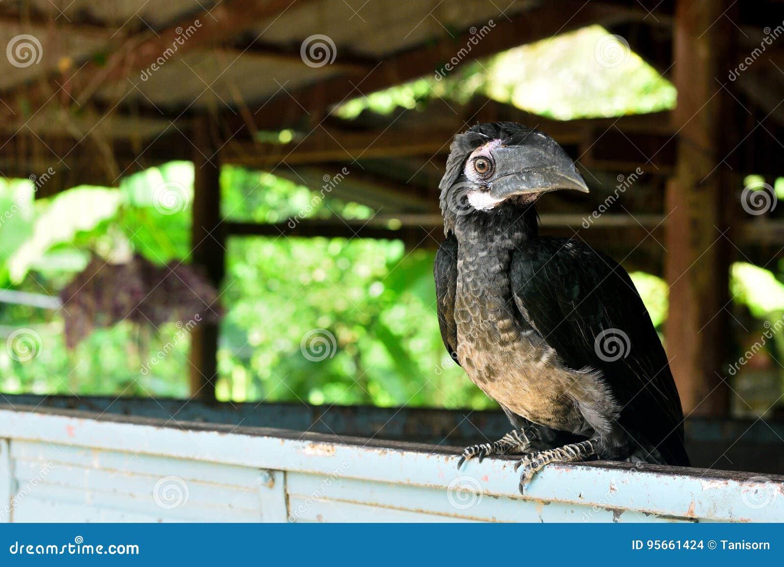 Nahaufnahme eines männlichen Hornbill Buschig-mit Haube