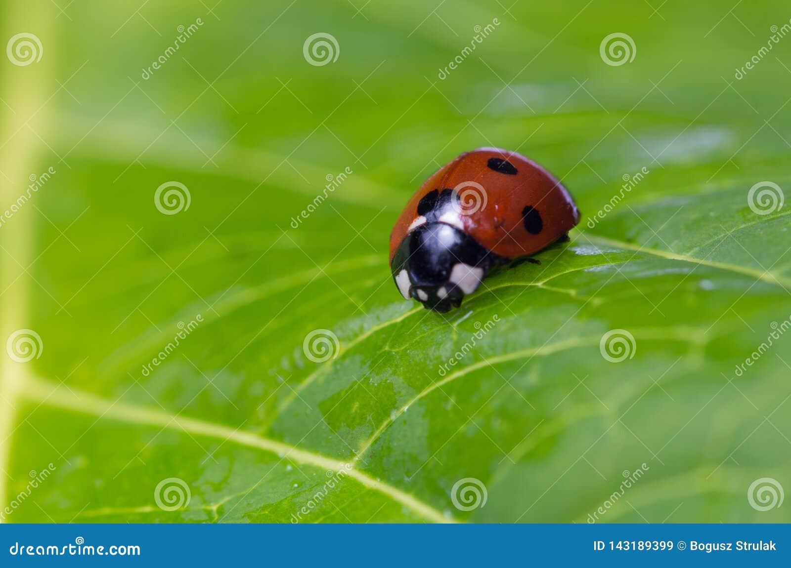 Nahaufnahme eines Marienkäfers auf einem grünen Blatt